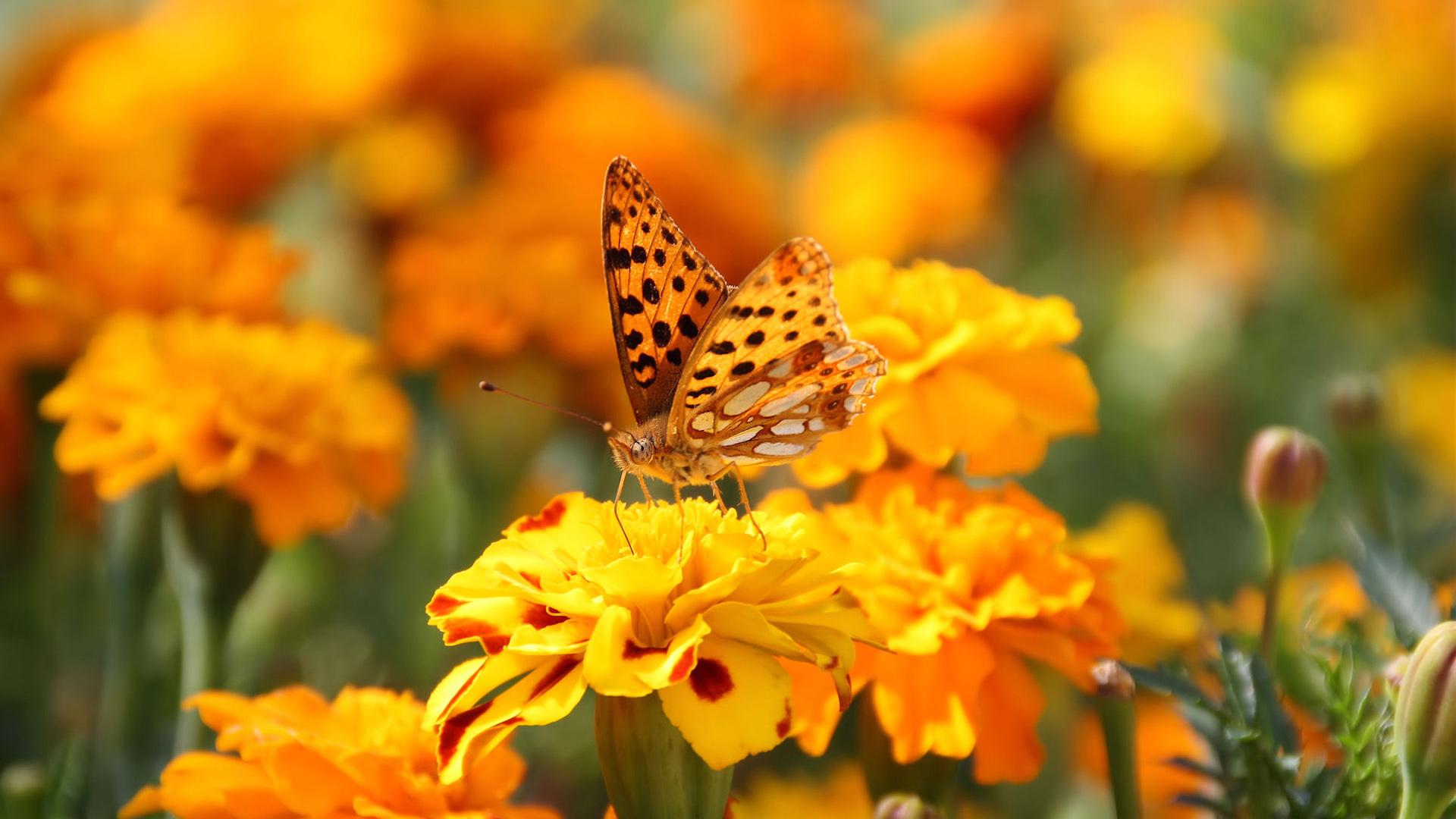 Оранжевая бабочка и цветы