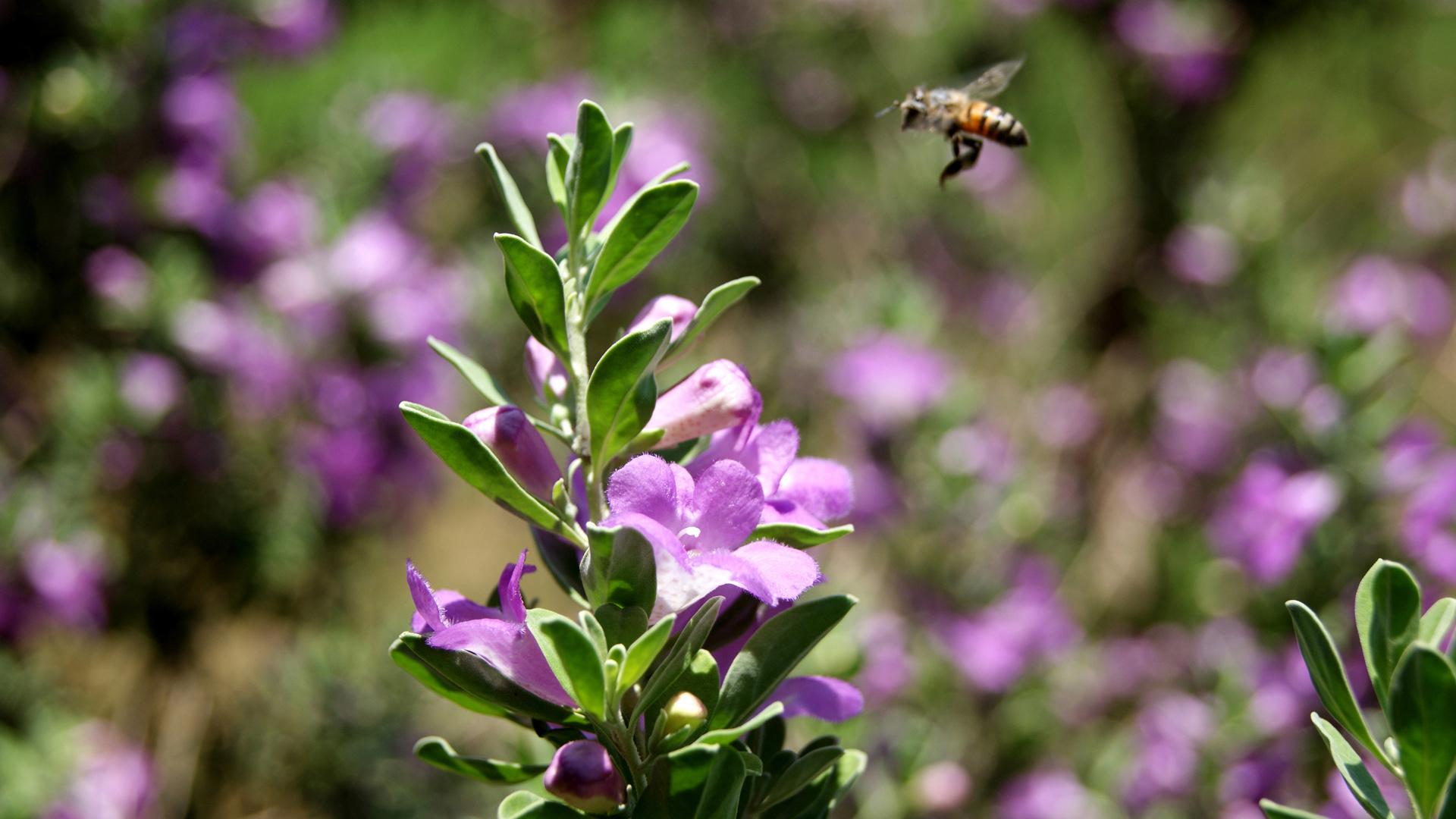 Пчела у фиолетовых цветков