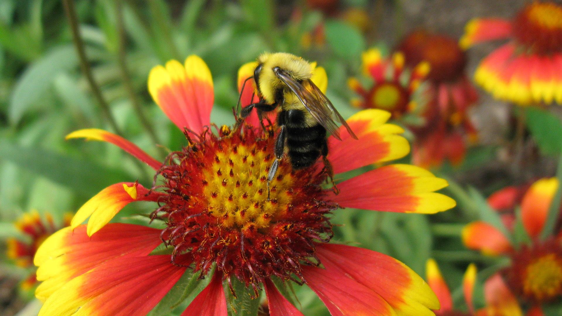 Пчела на оранжевом цветке