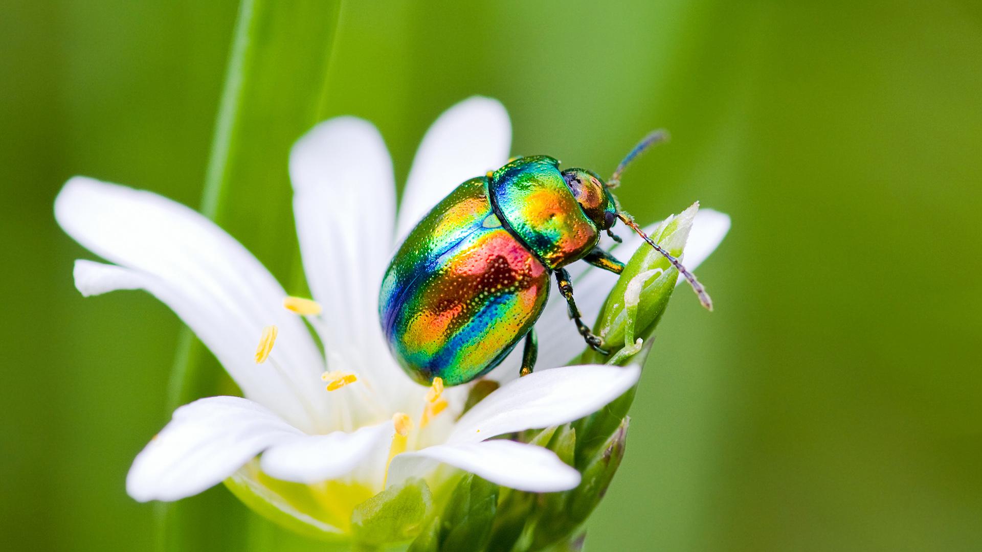 Разноцветный жук на цветке