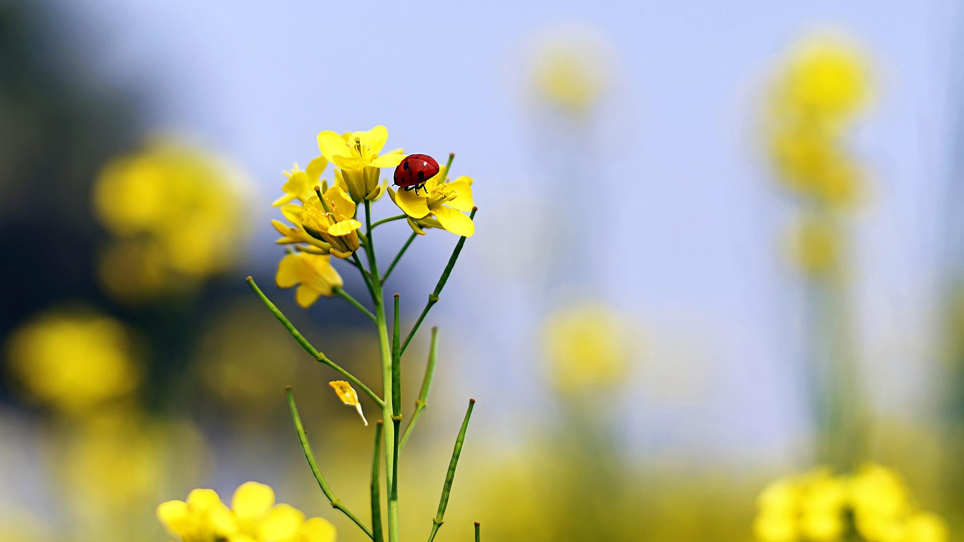 Божья коровка на жёлтых цветах