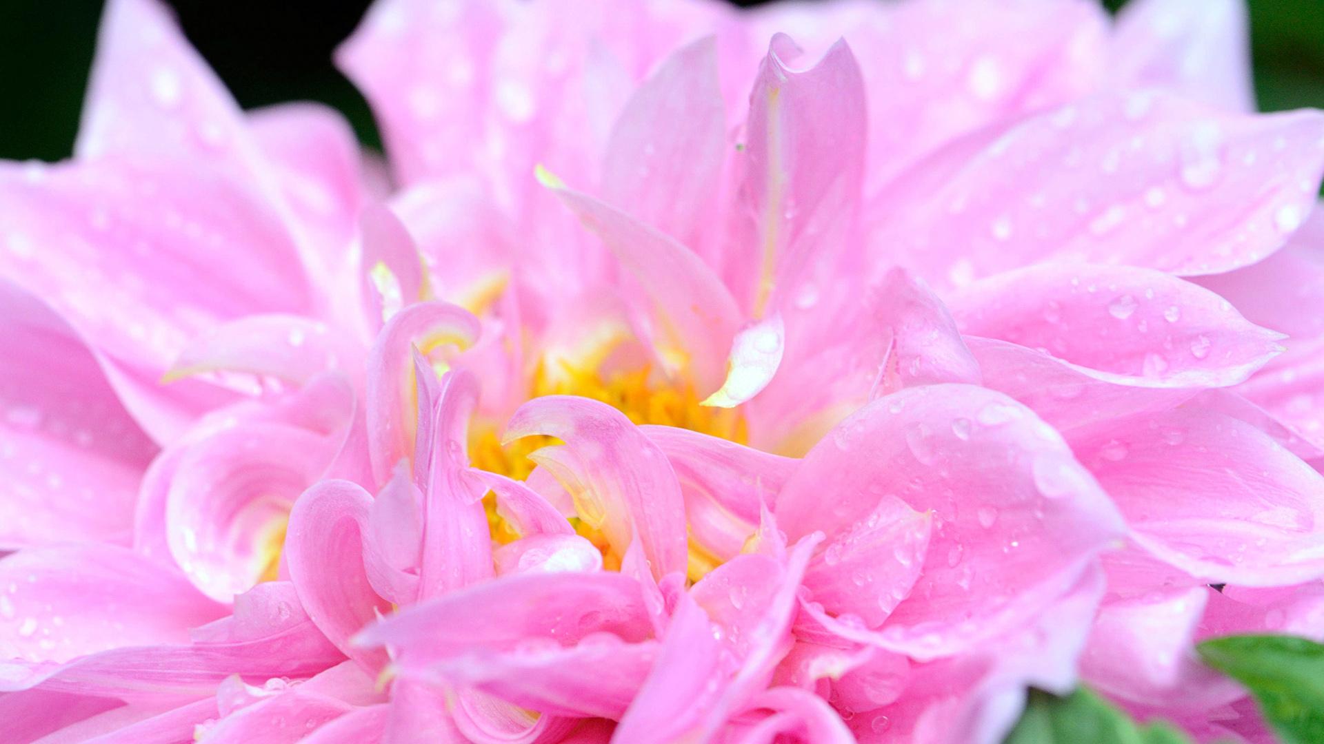 Розовый цветок в росе
