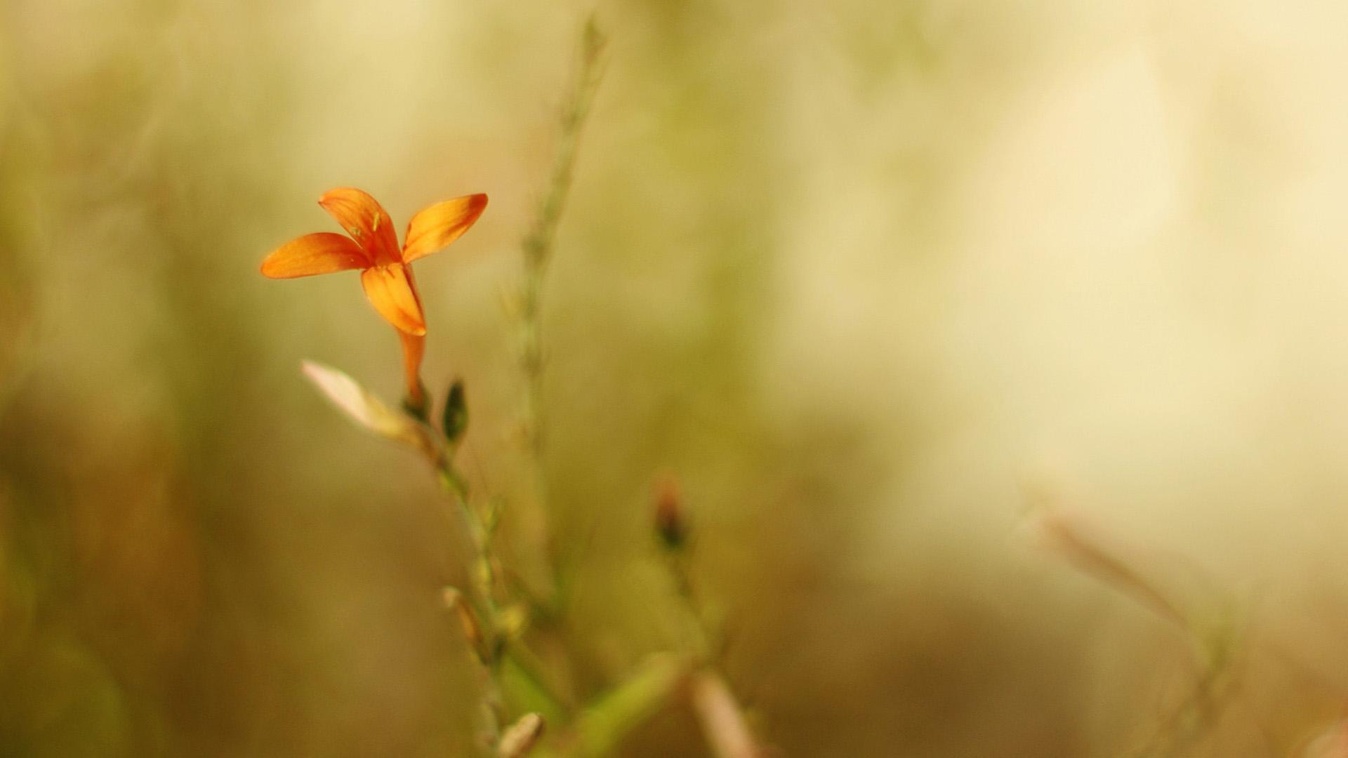 Маленький оранжевый цветок