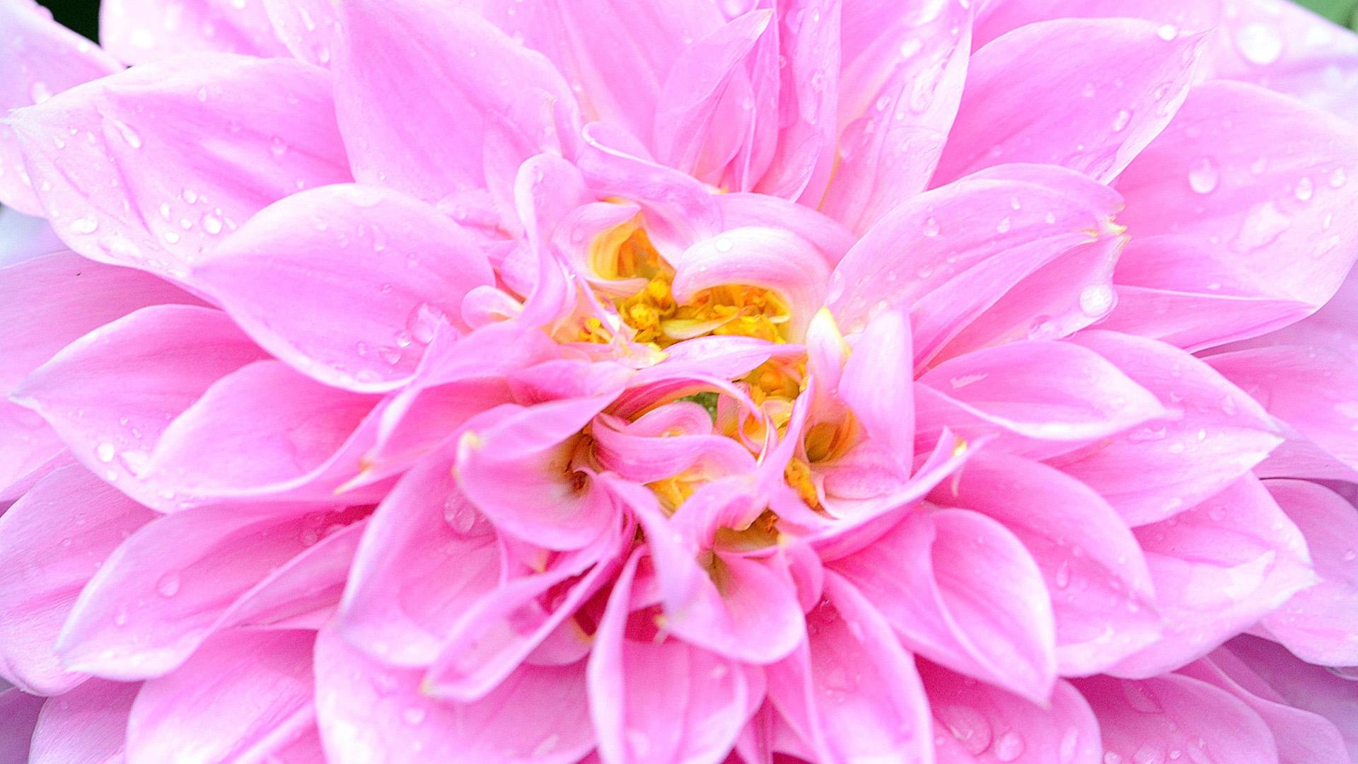 Фантастический цветок в утренней росе