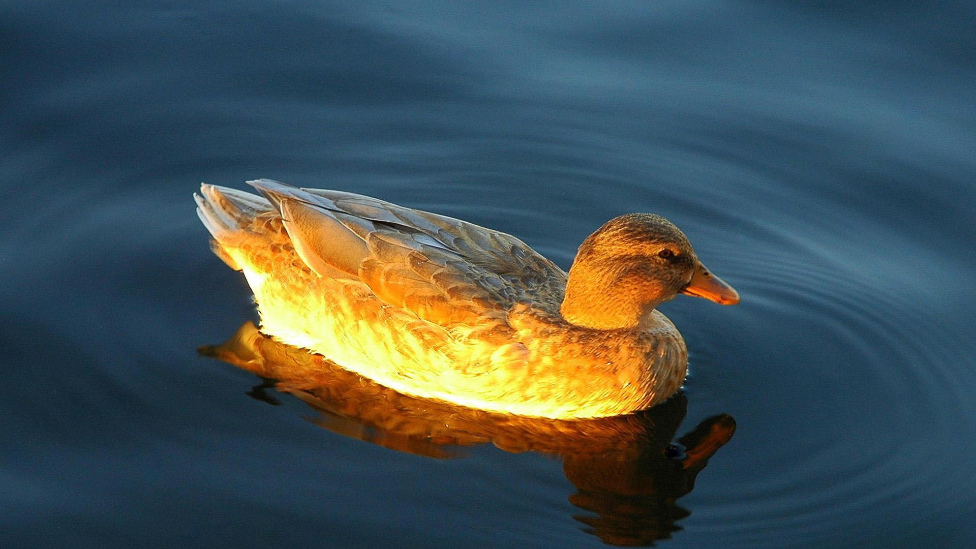 Утка в озере
