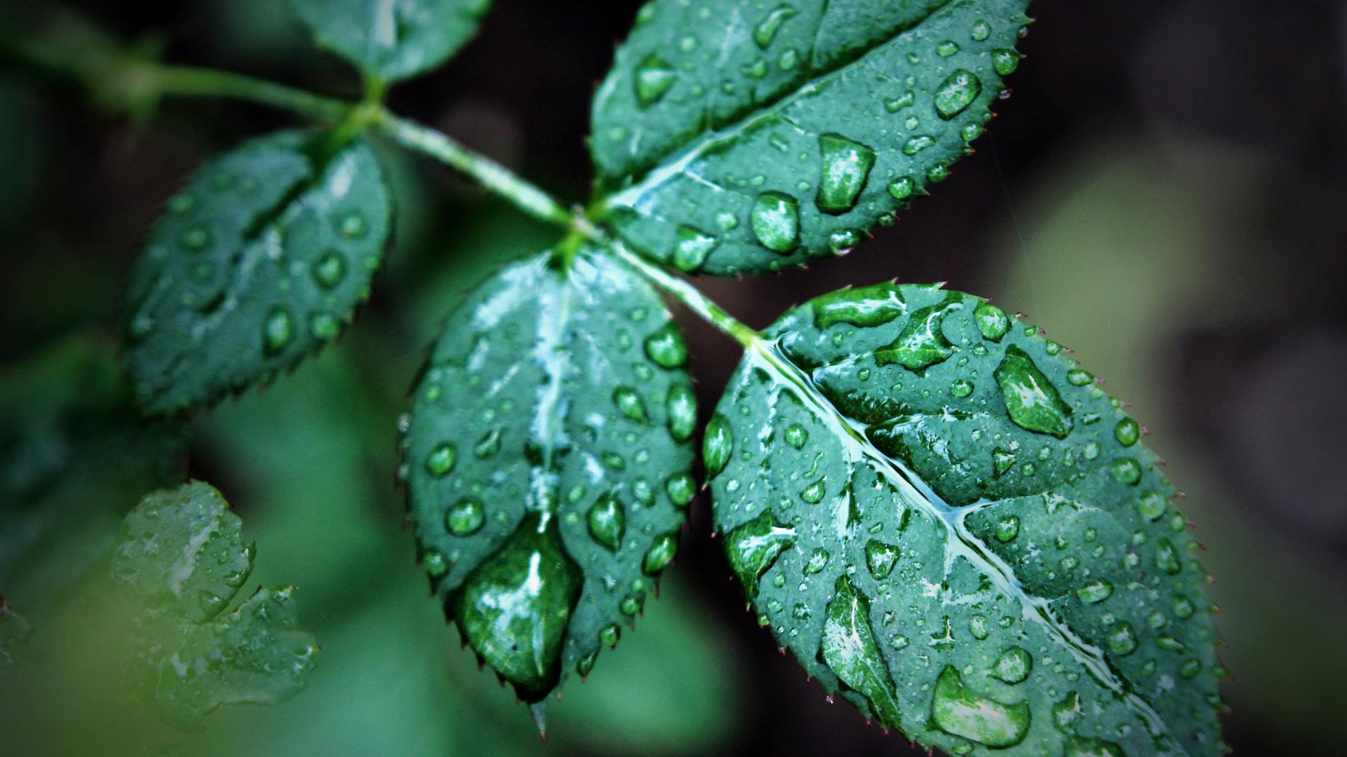 Роса на листьях