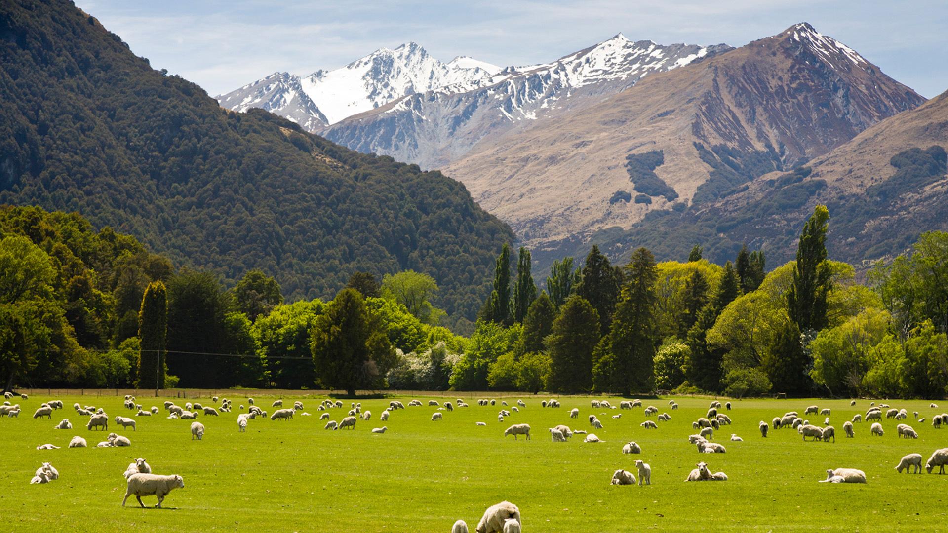 Овцы на пастбище в горах