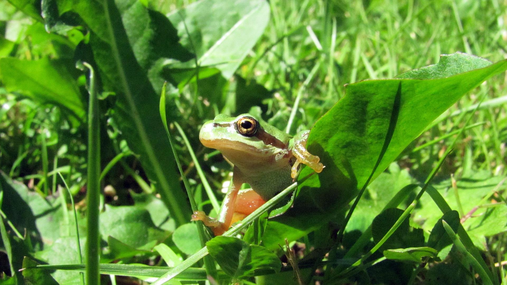 Лягушка в зелёной траве