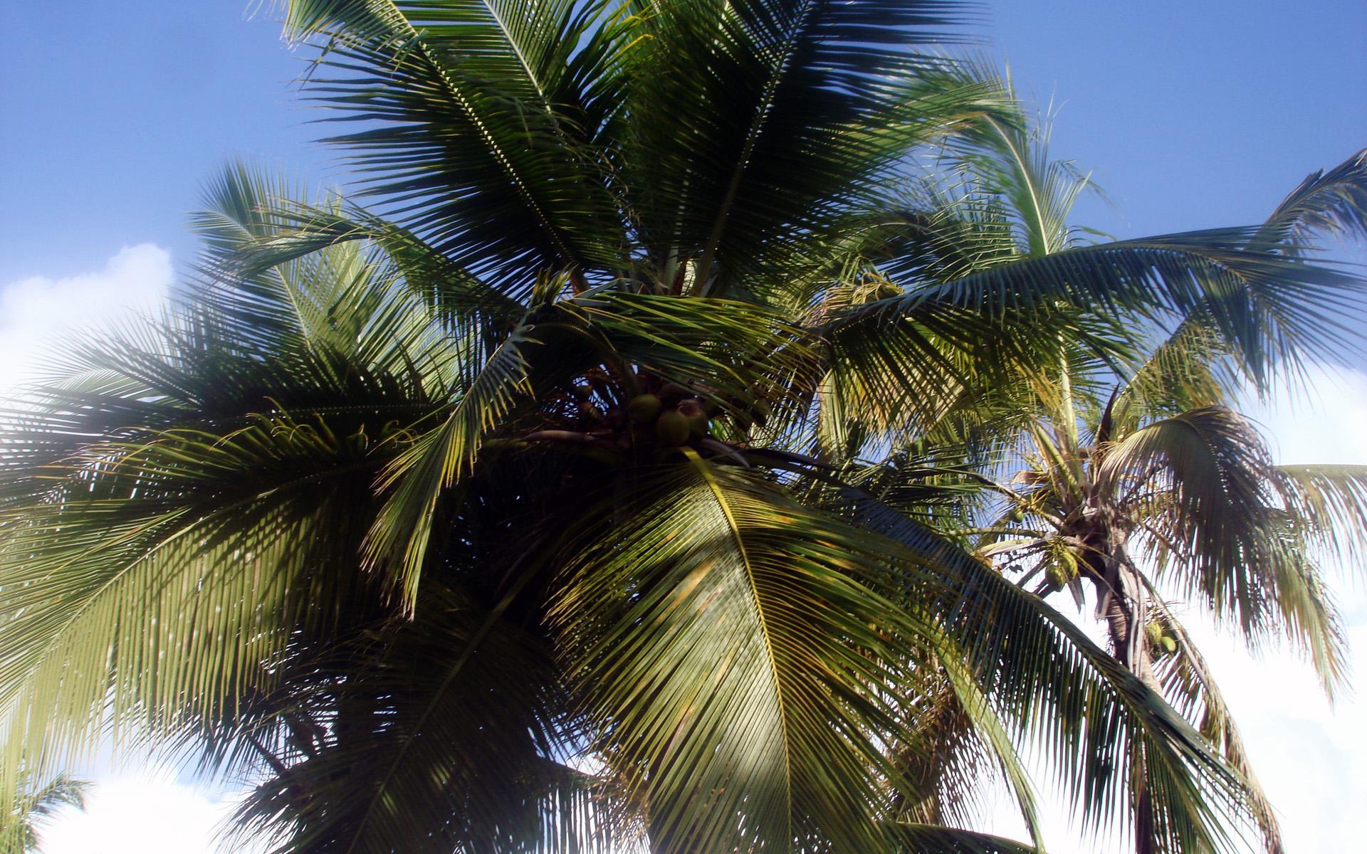 Доминиканская пальма