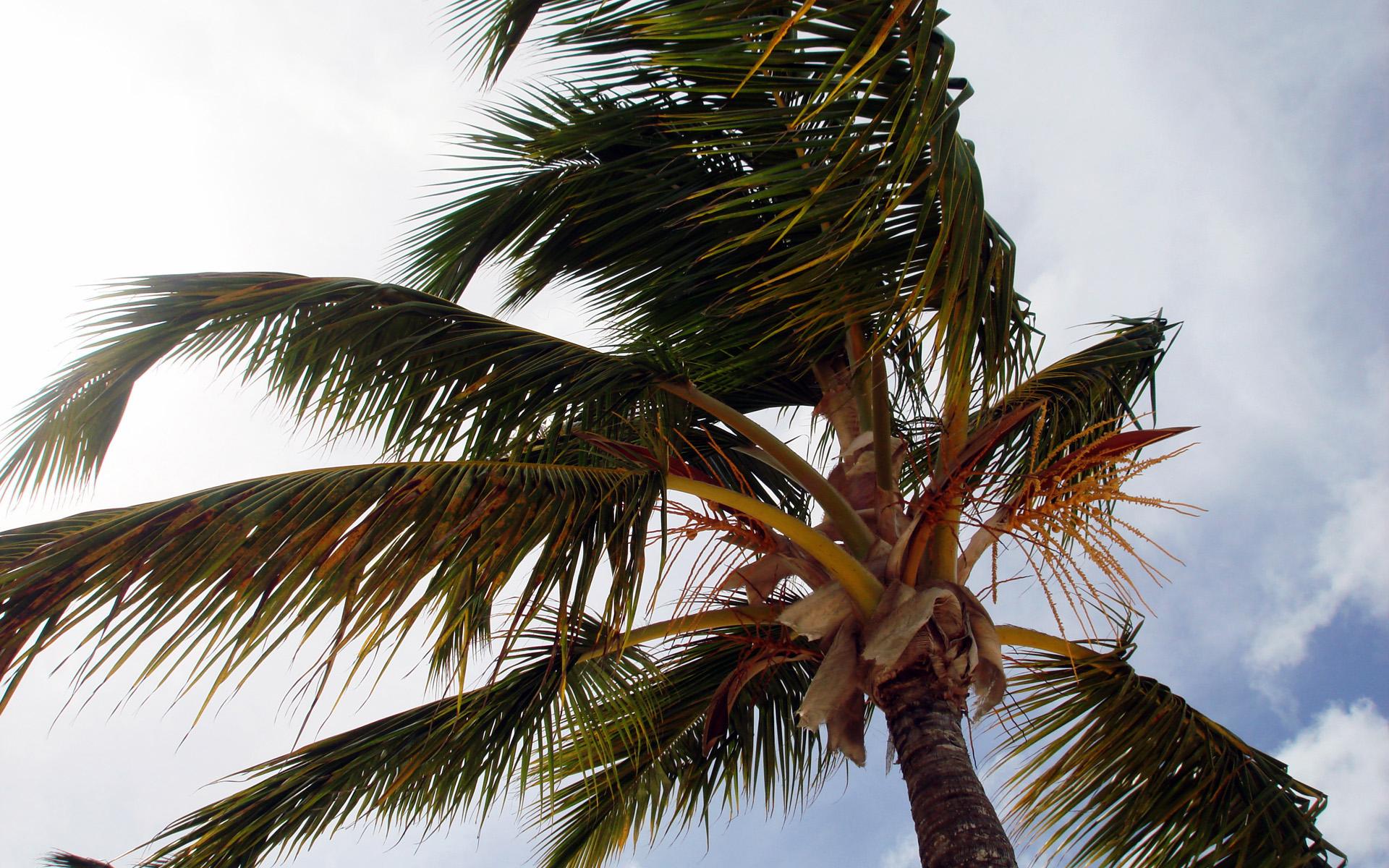 Пальма на ветру