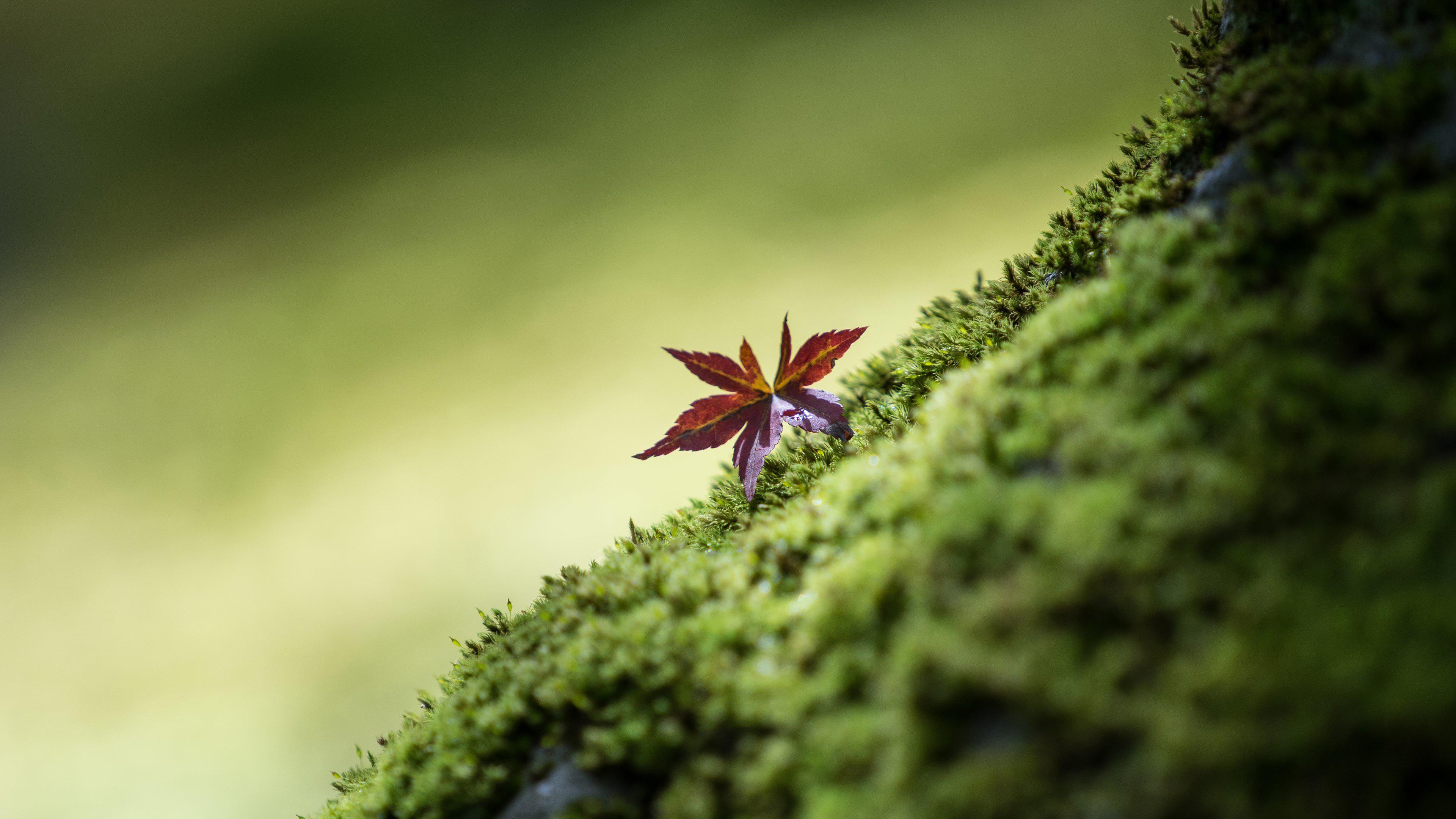Багряный лист кленовый