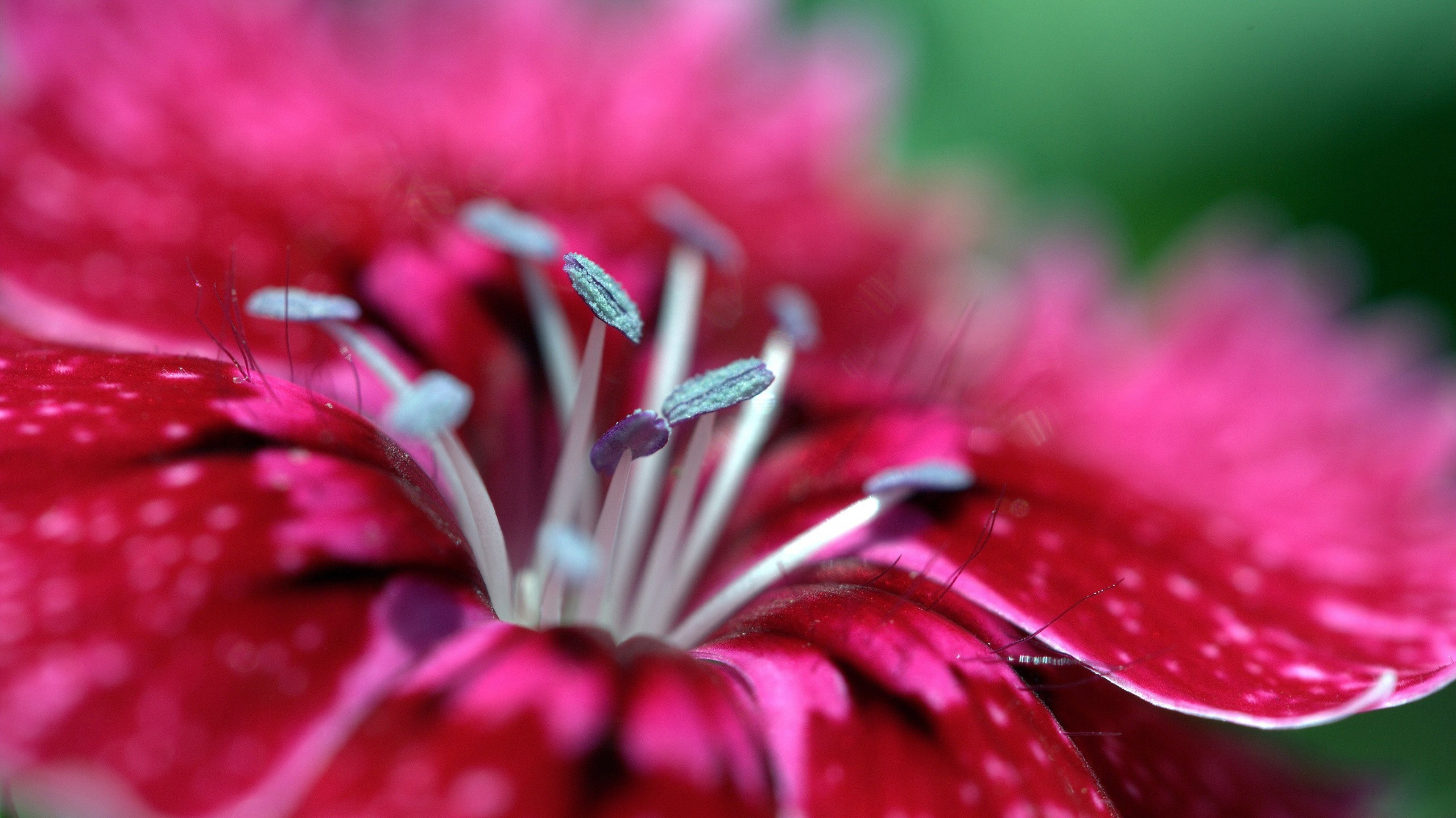 Красно-розовый цветок