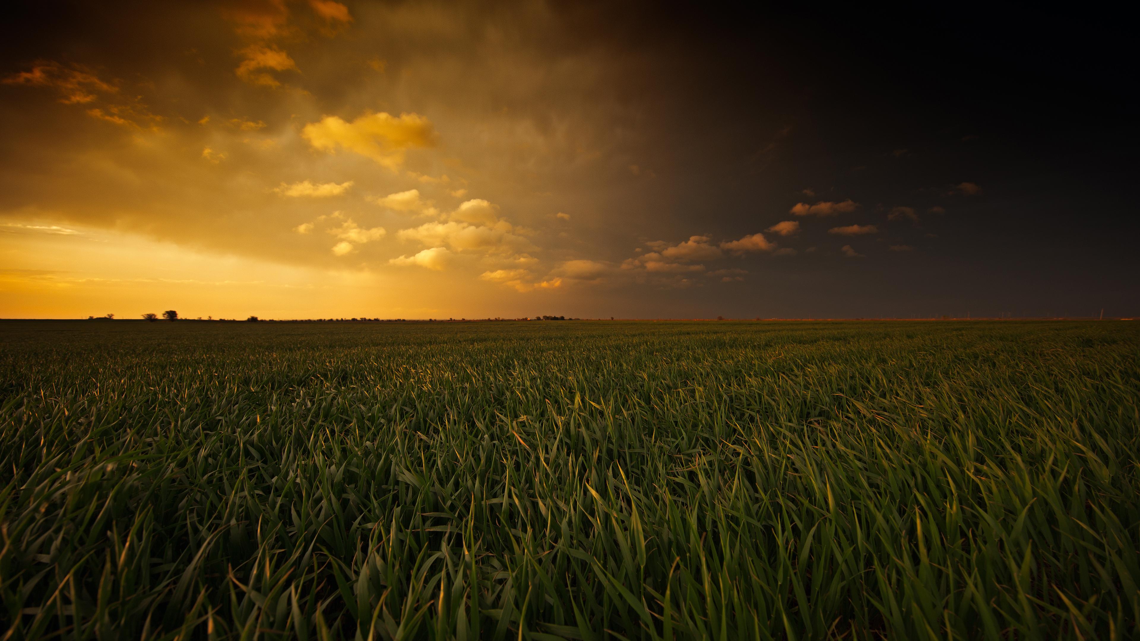 Зеленое поле пшеницы