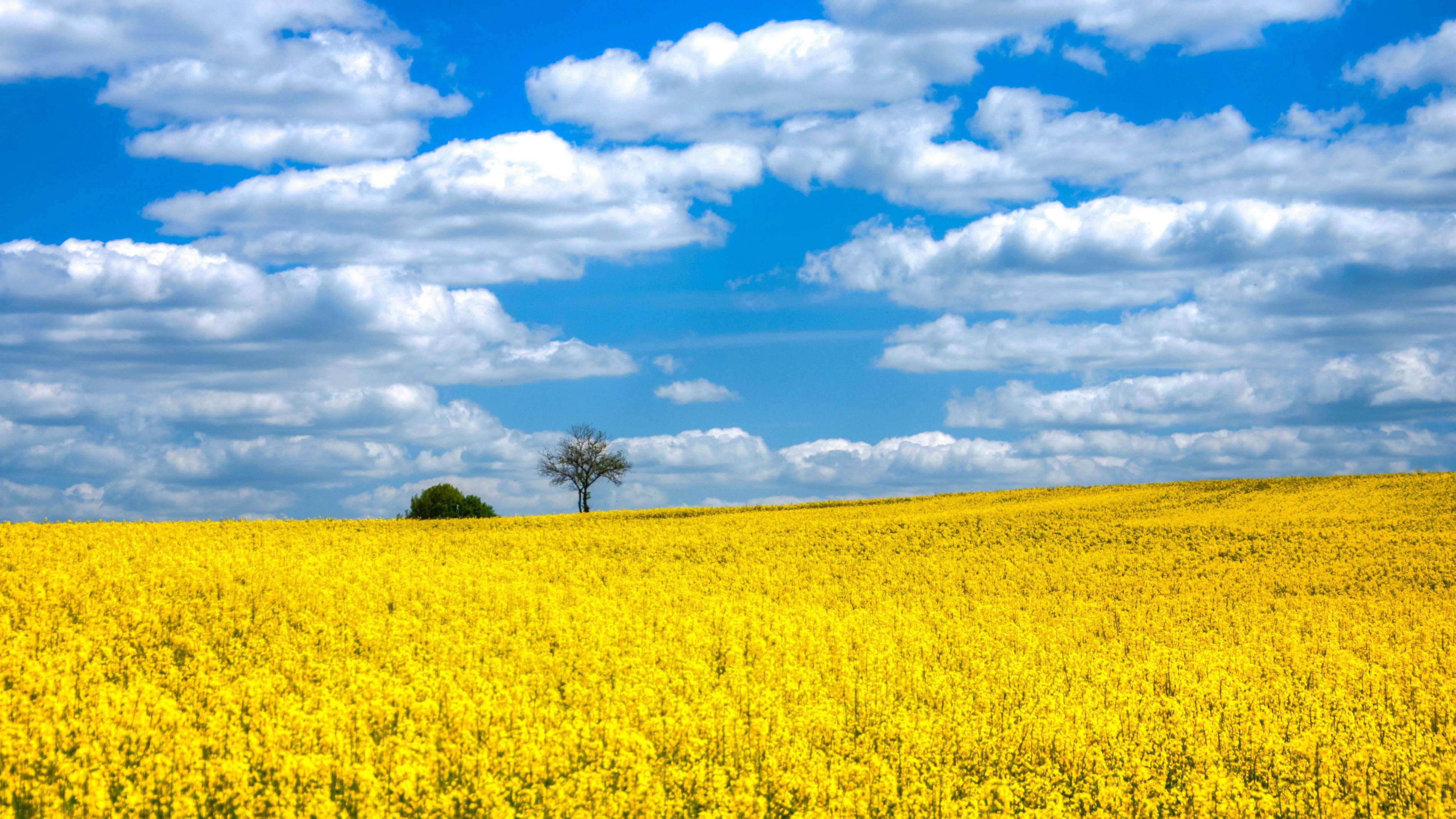 Ярко-желтое поле