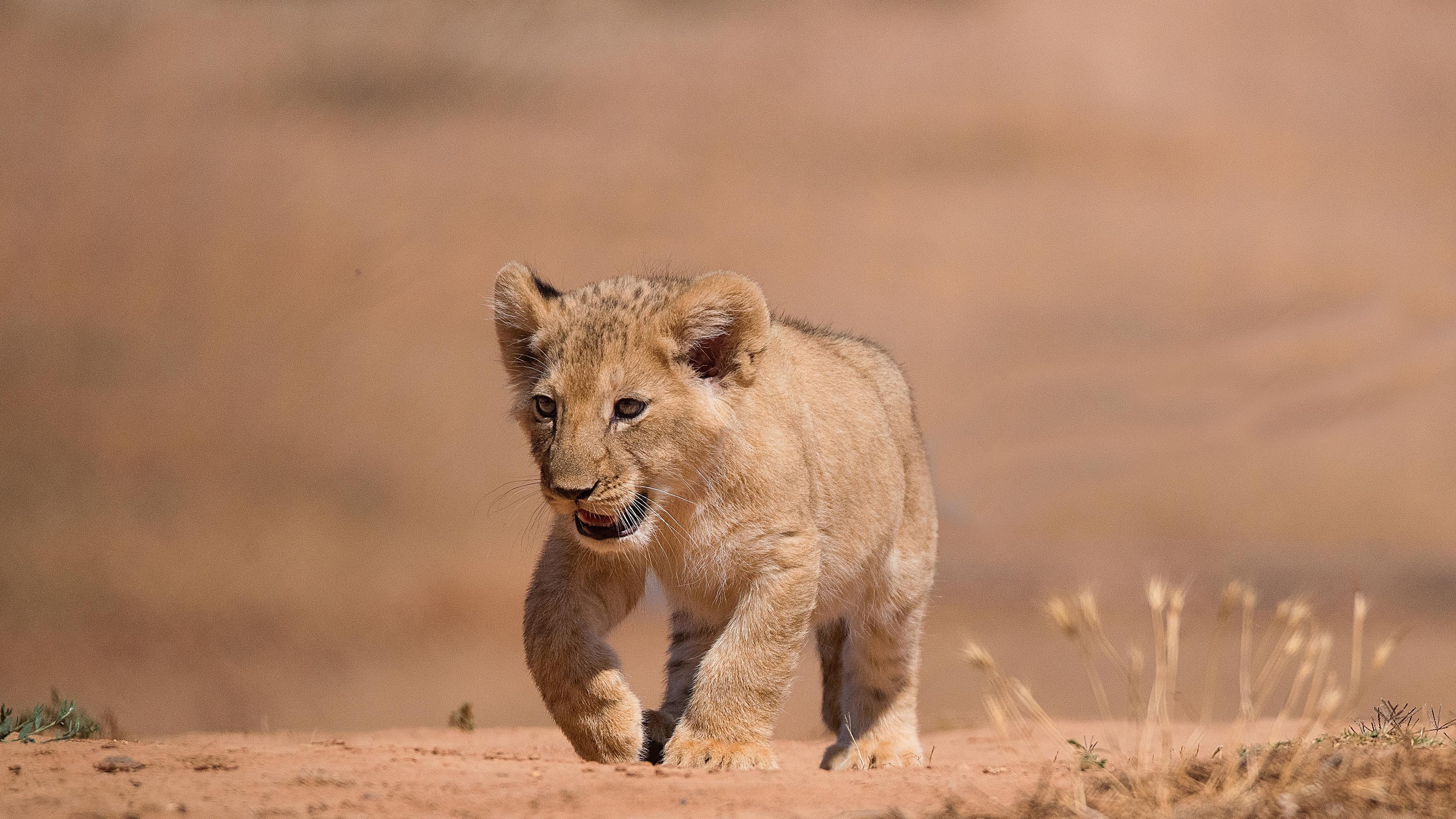 Милый львенок