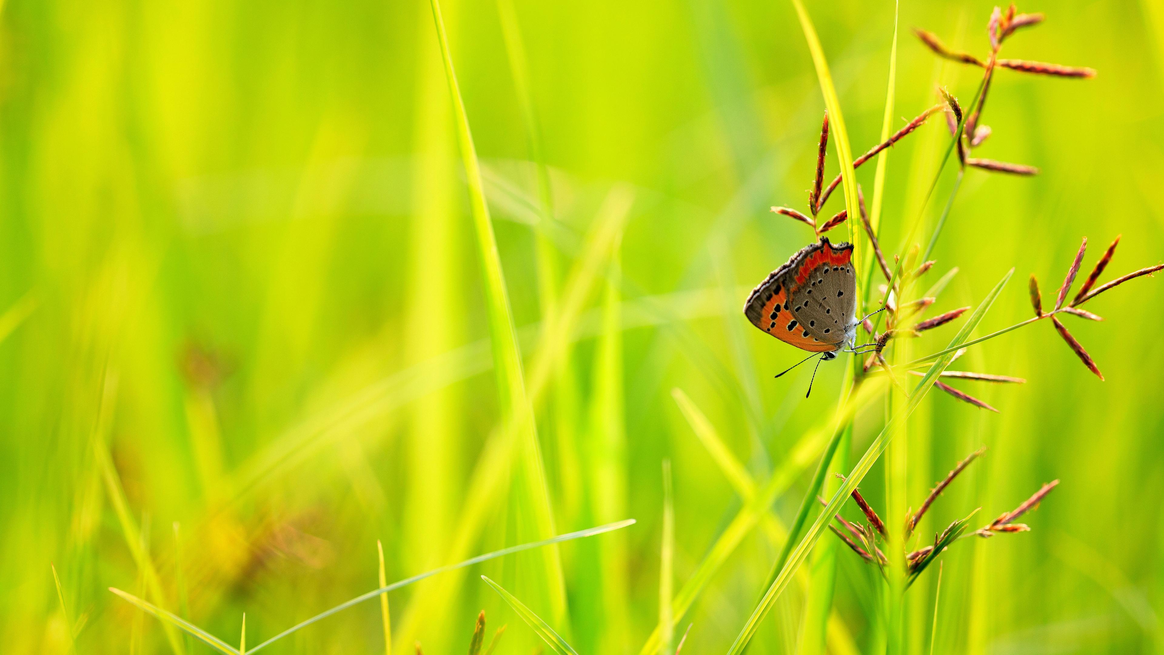 Бабочка на стебле колоска