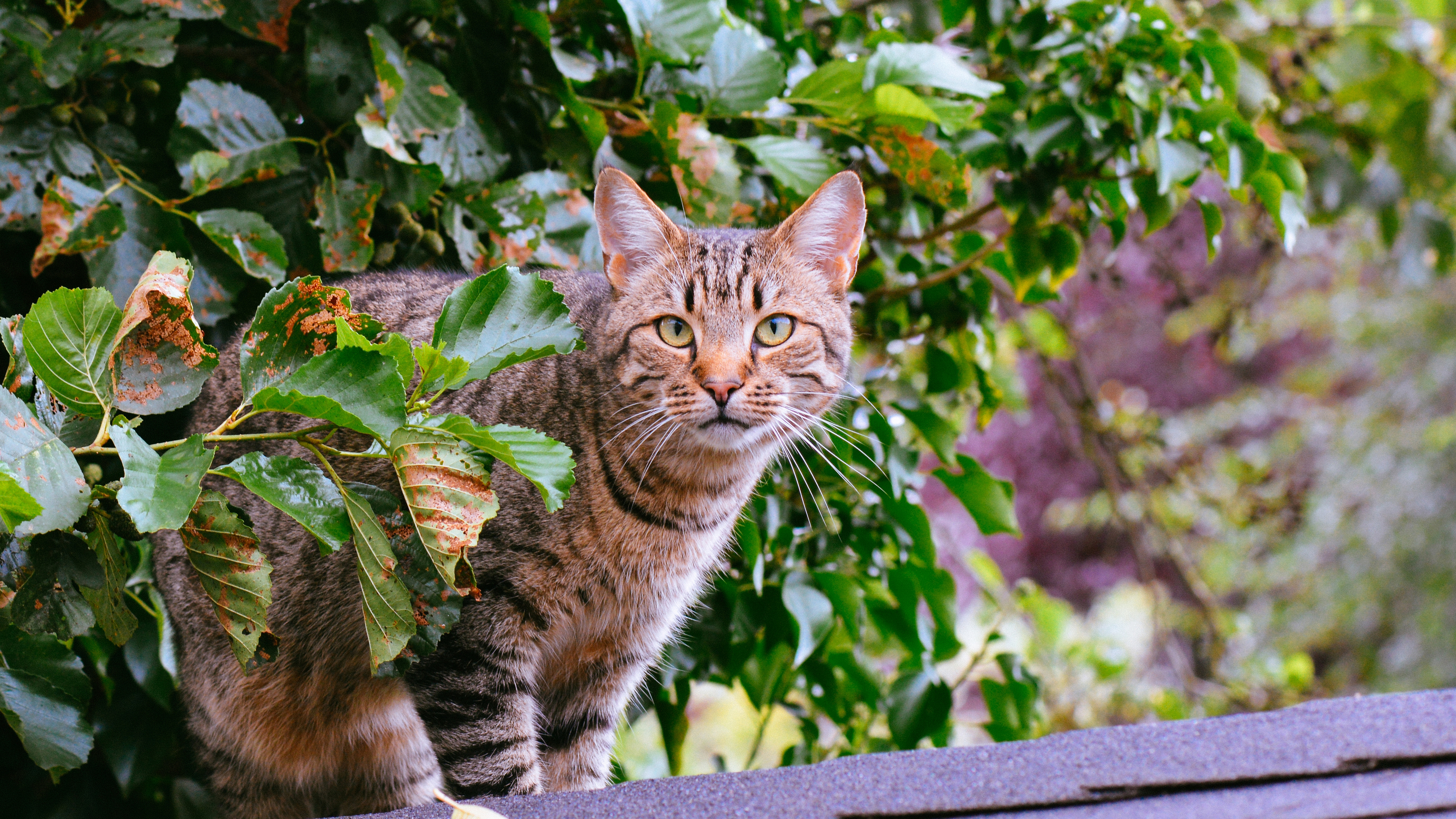 Кот тигровый