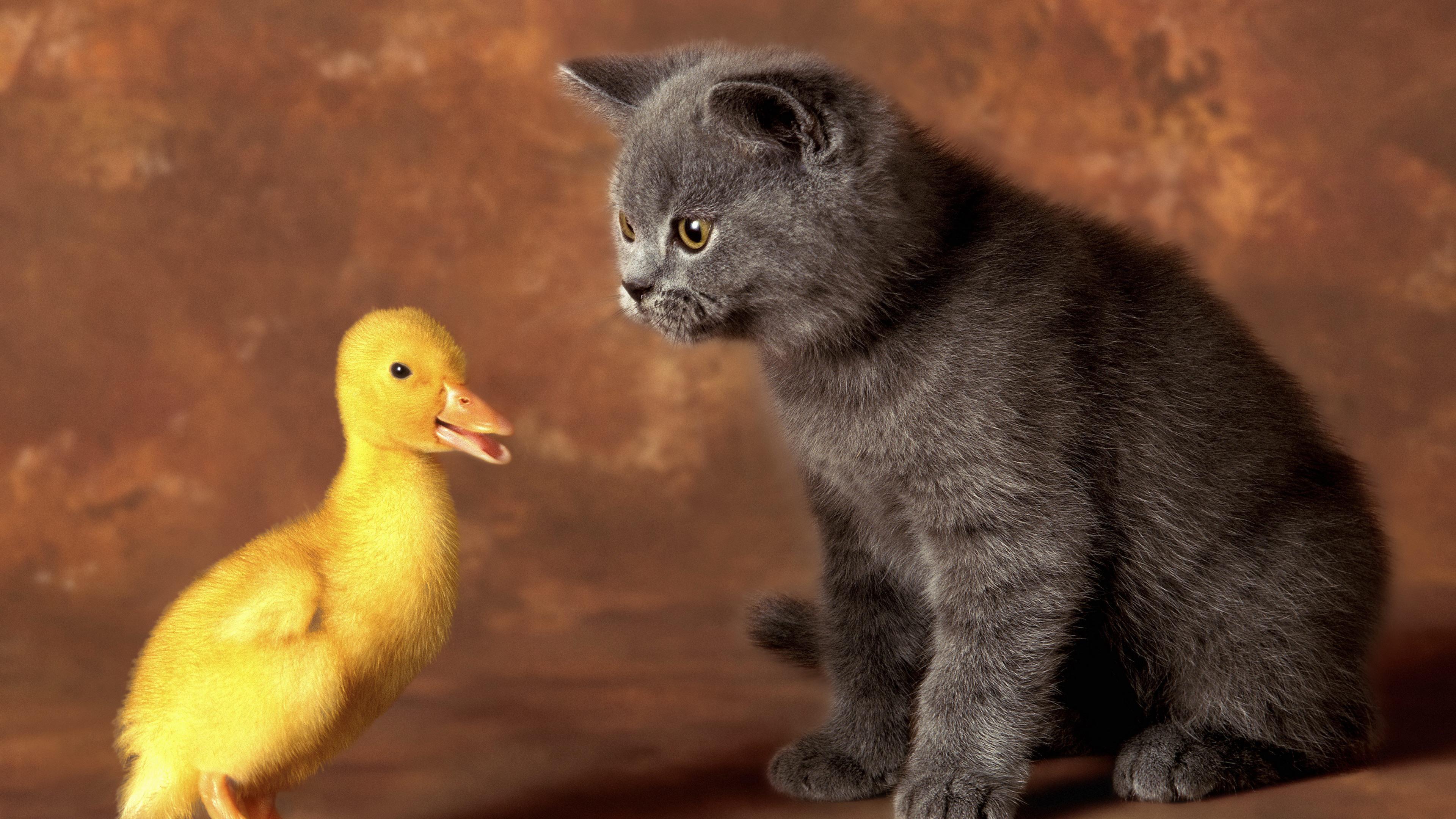 Кот и утенок