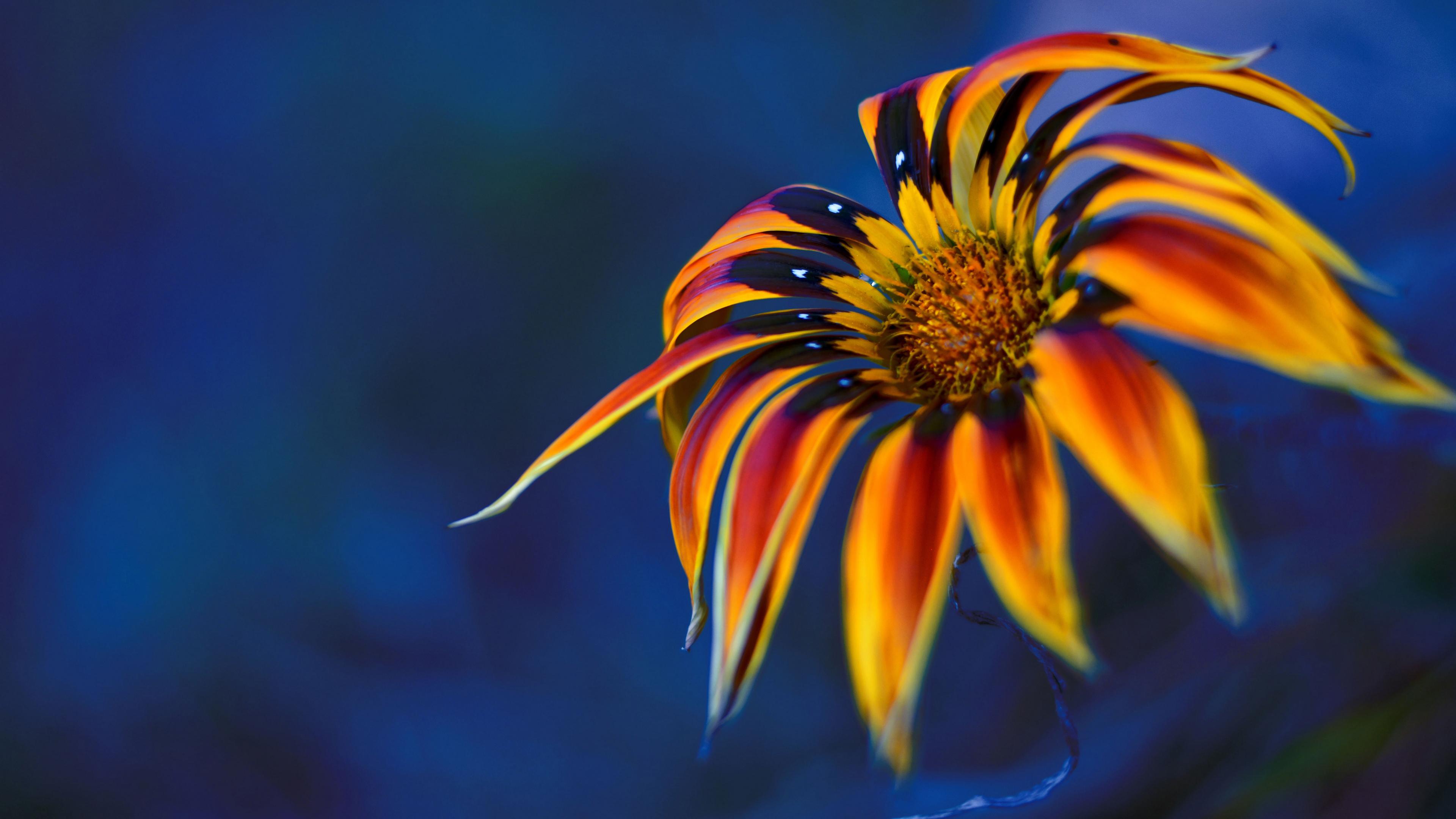 Красно-желтый цветок