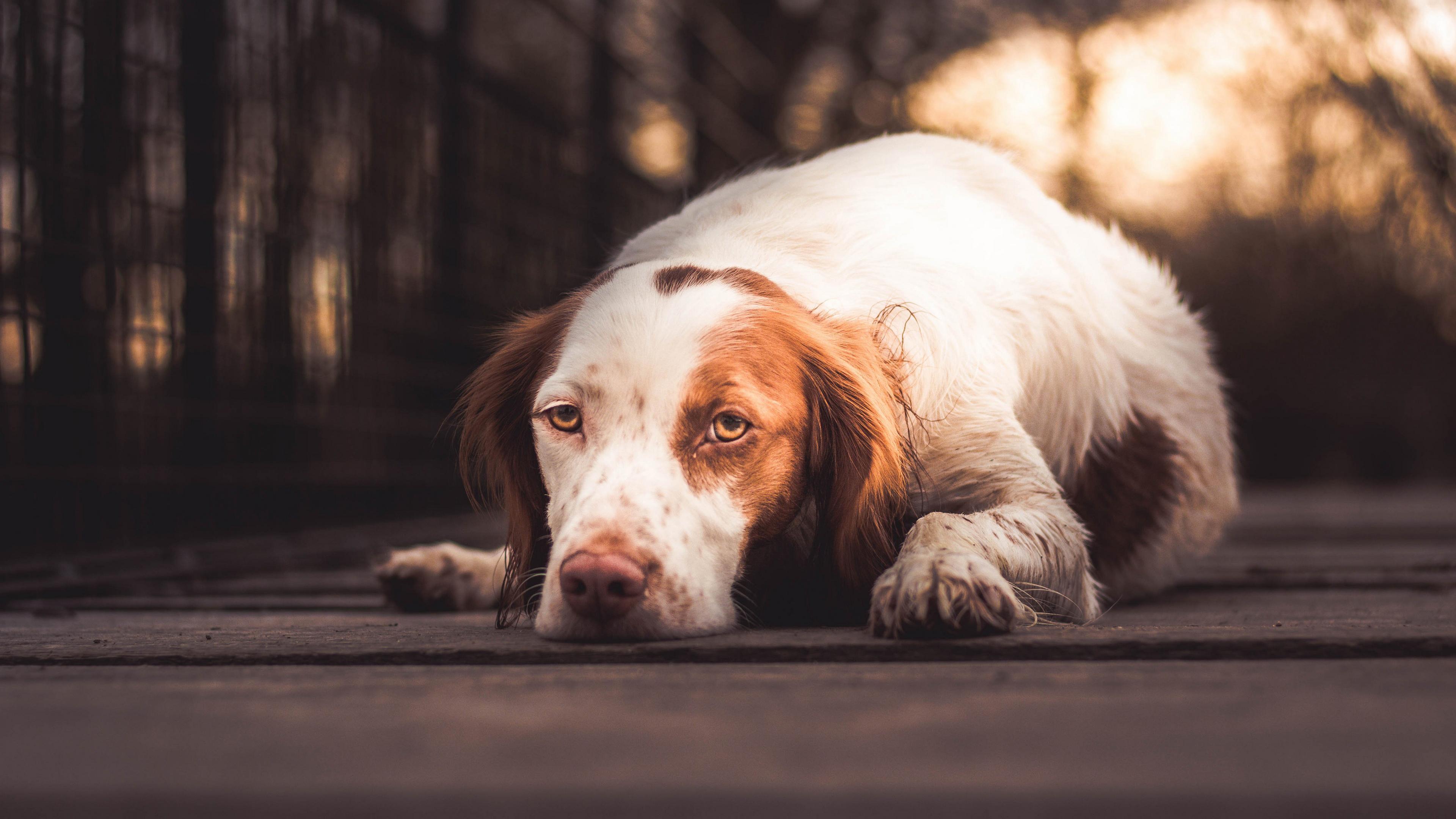 Собака с тоскливым взглядом