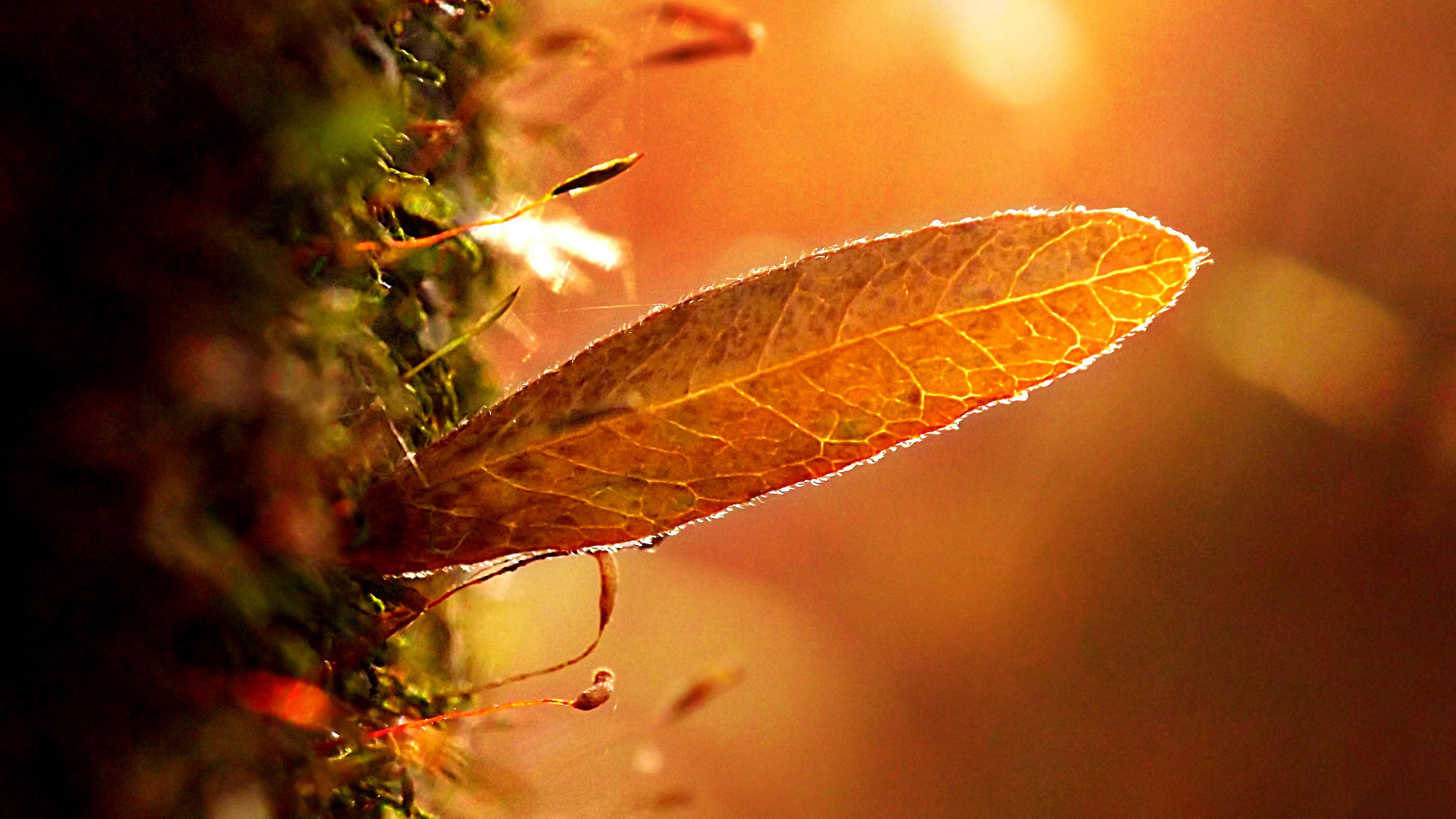Багряный лист