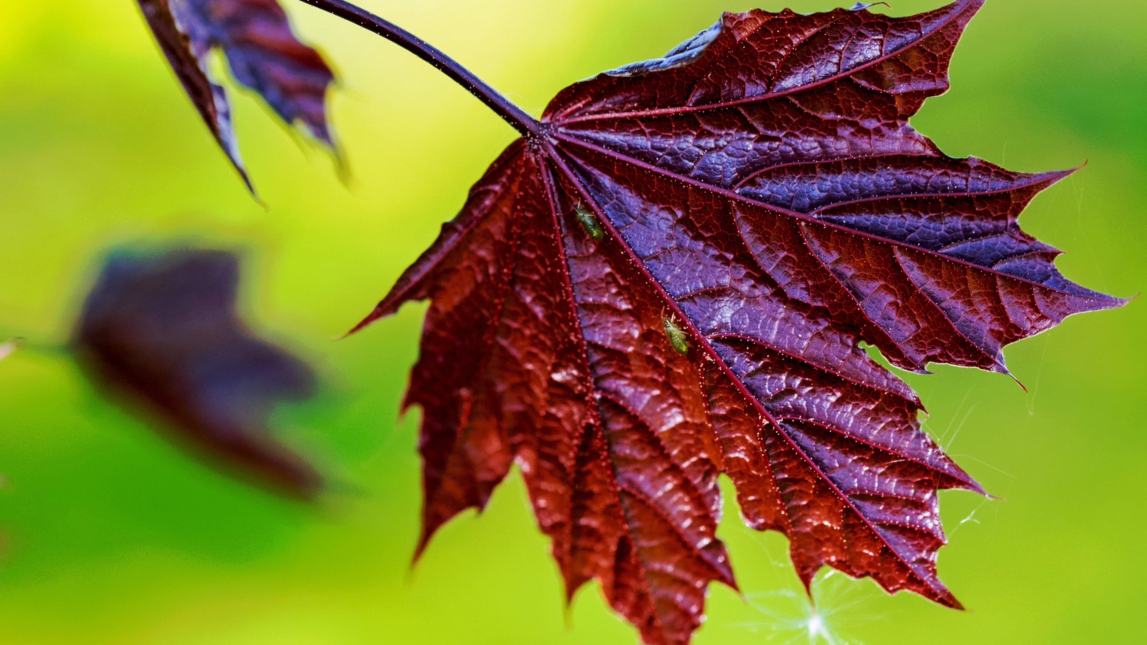 Осенний лист багряный