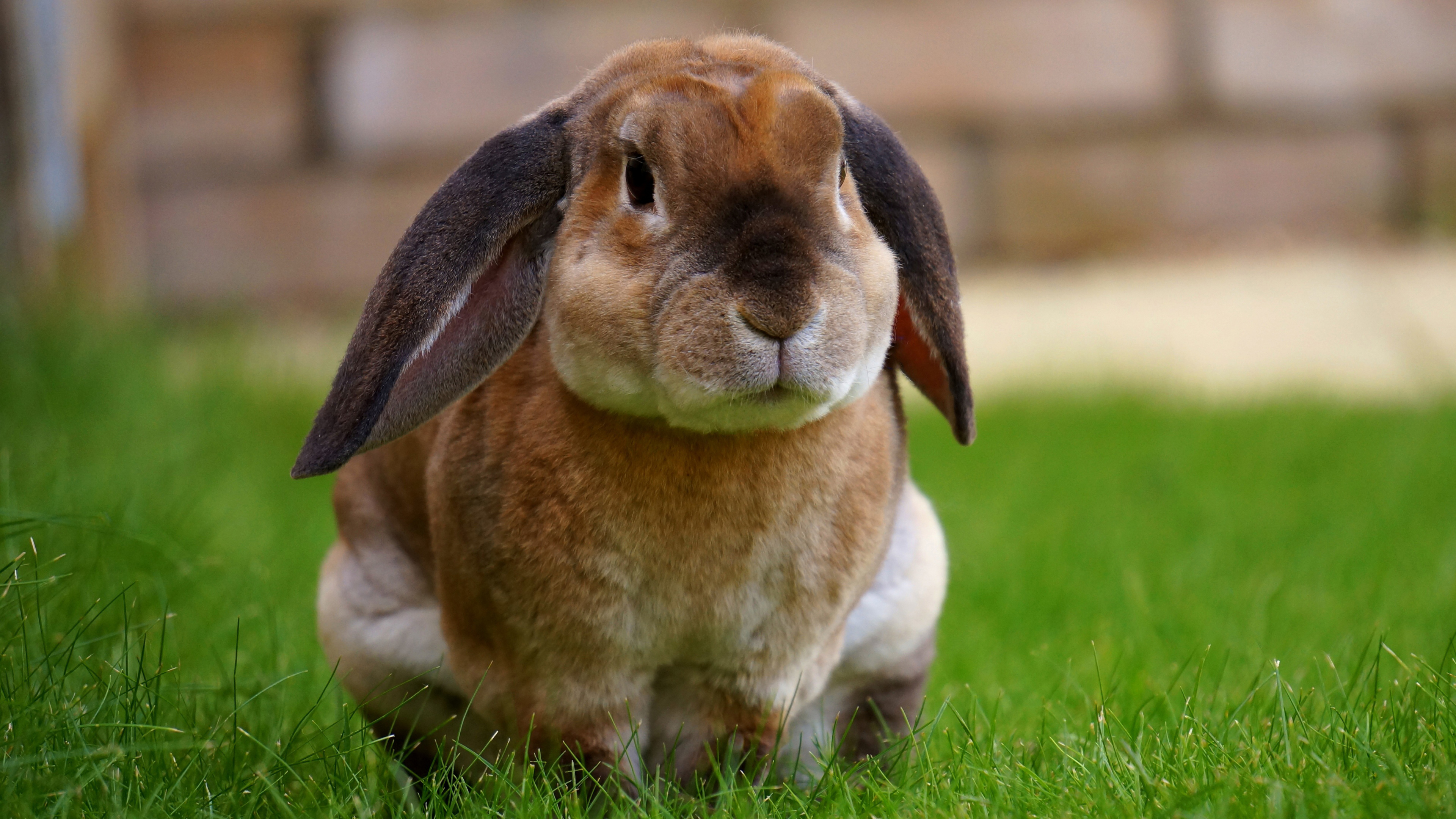 Кролик коричнево-белый