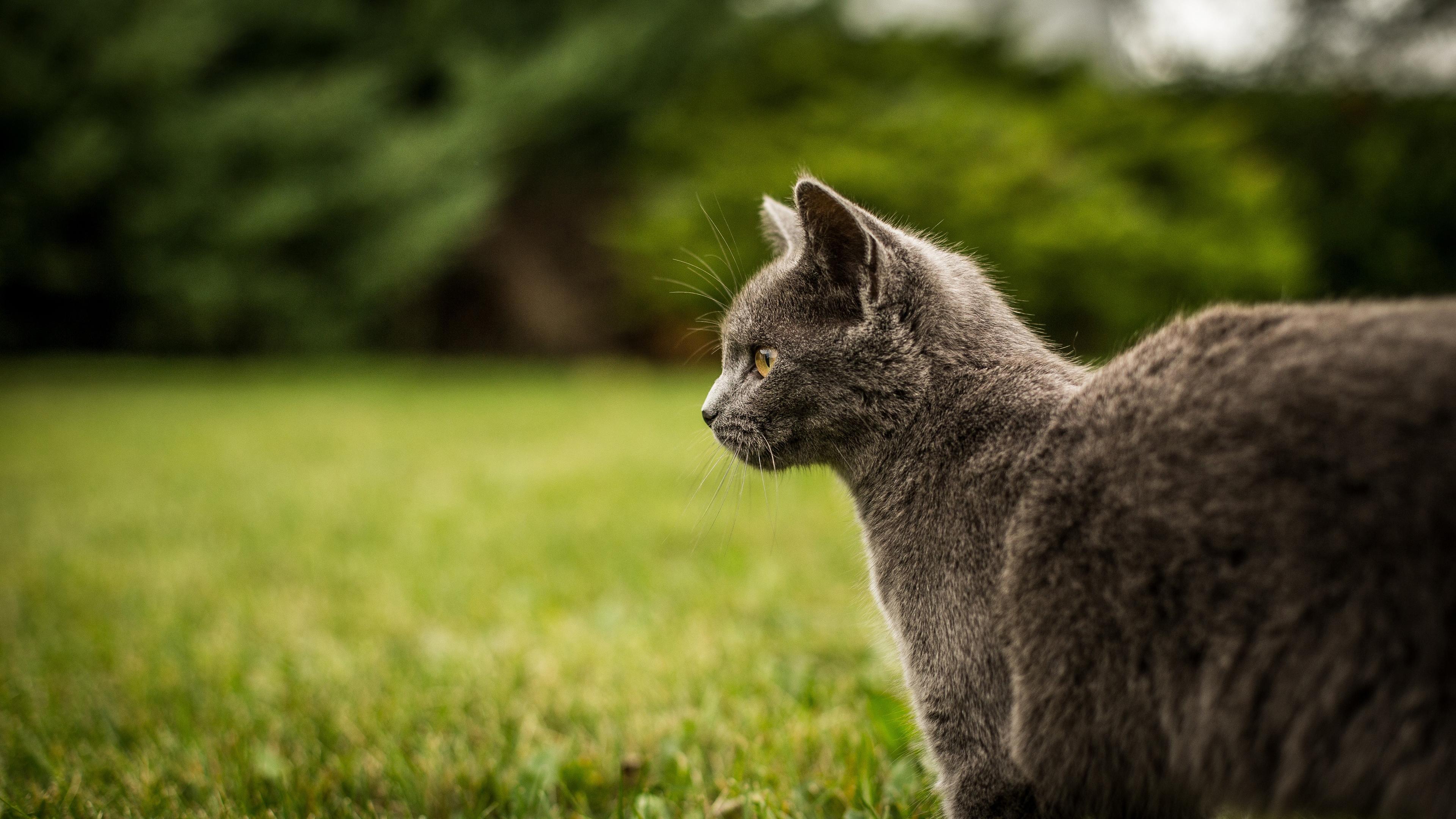 Большой кот на прогулке