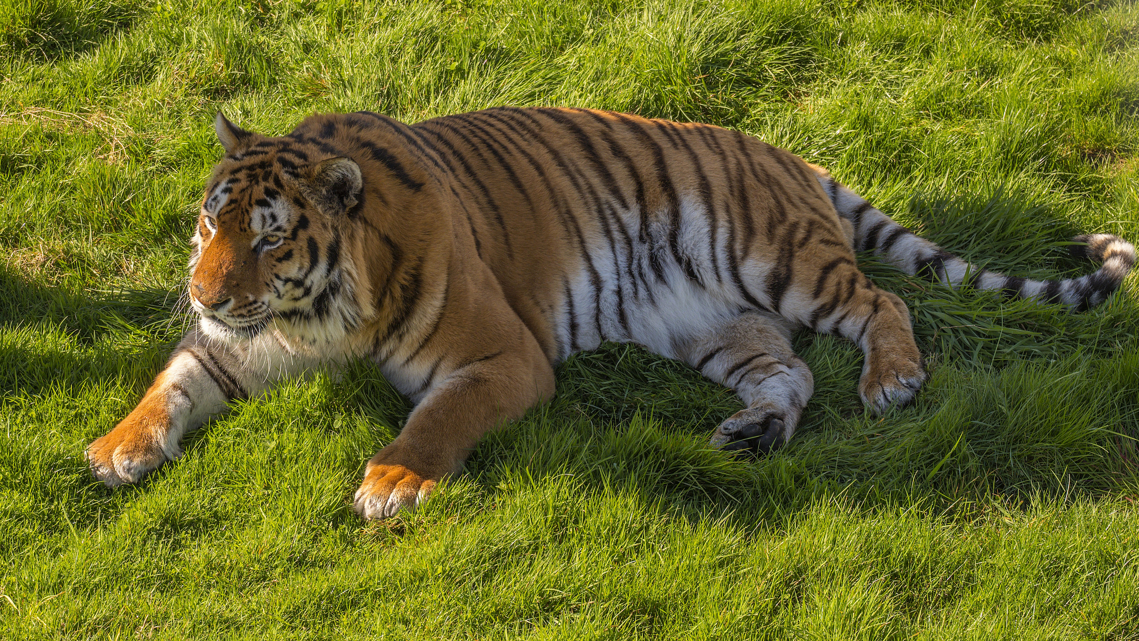 Амурский тигр в лучах солнца на траве