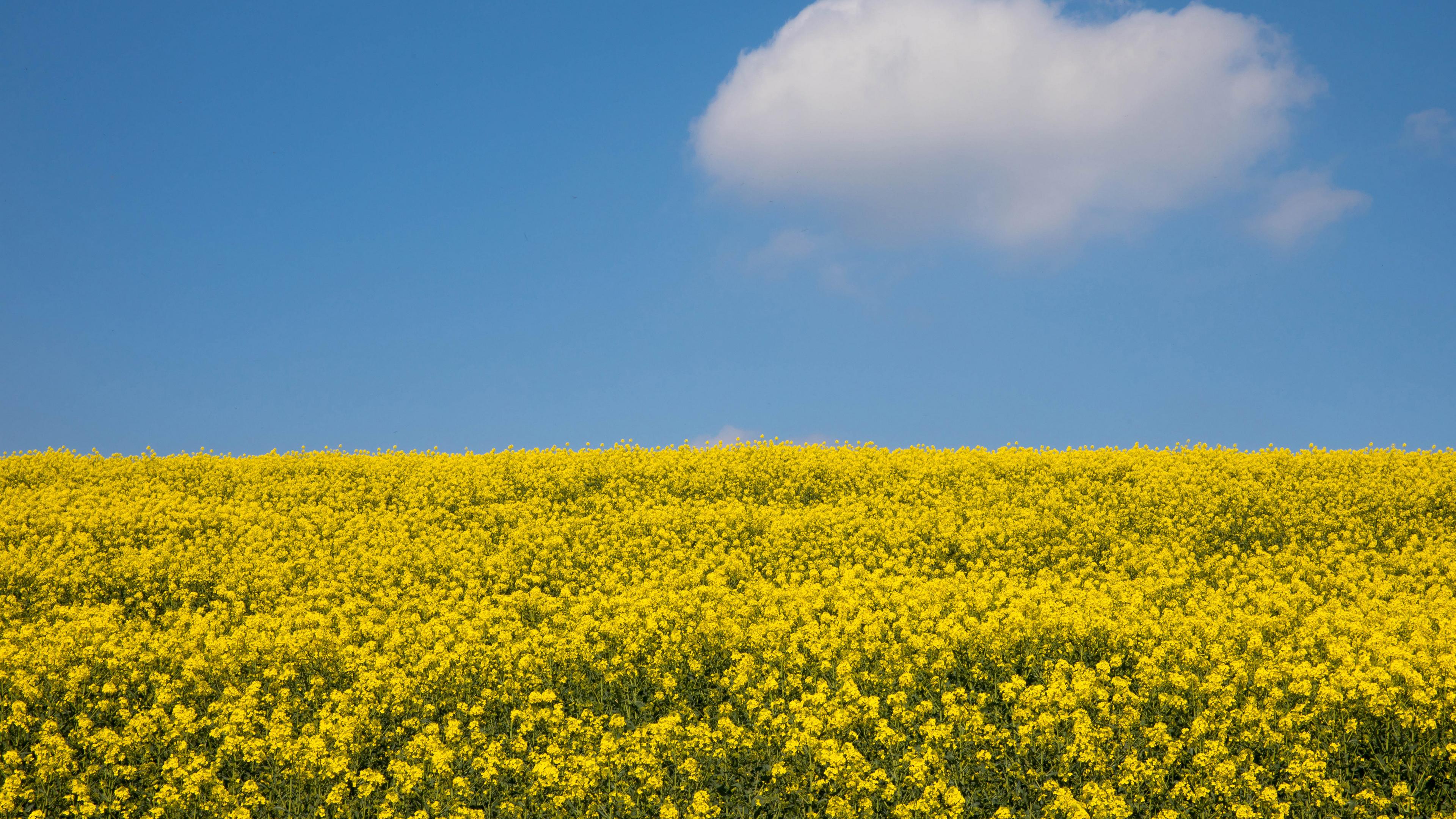 Поле из ярко-желтых цветов