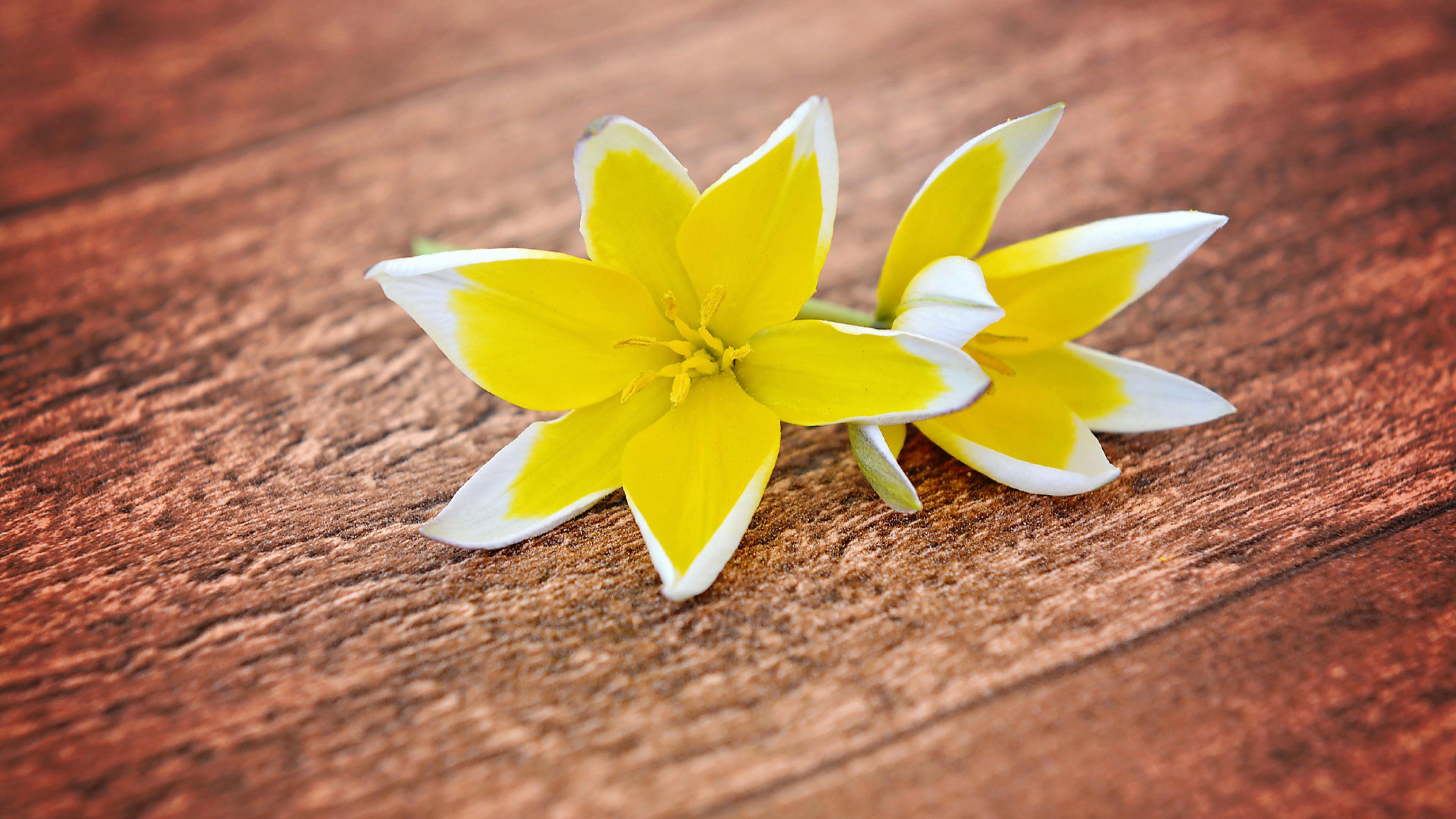 Желто-белые лепестки лилии