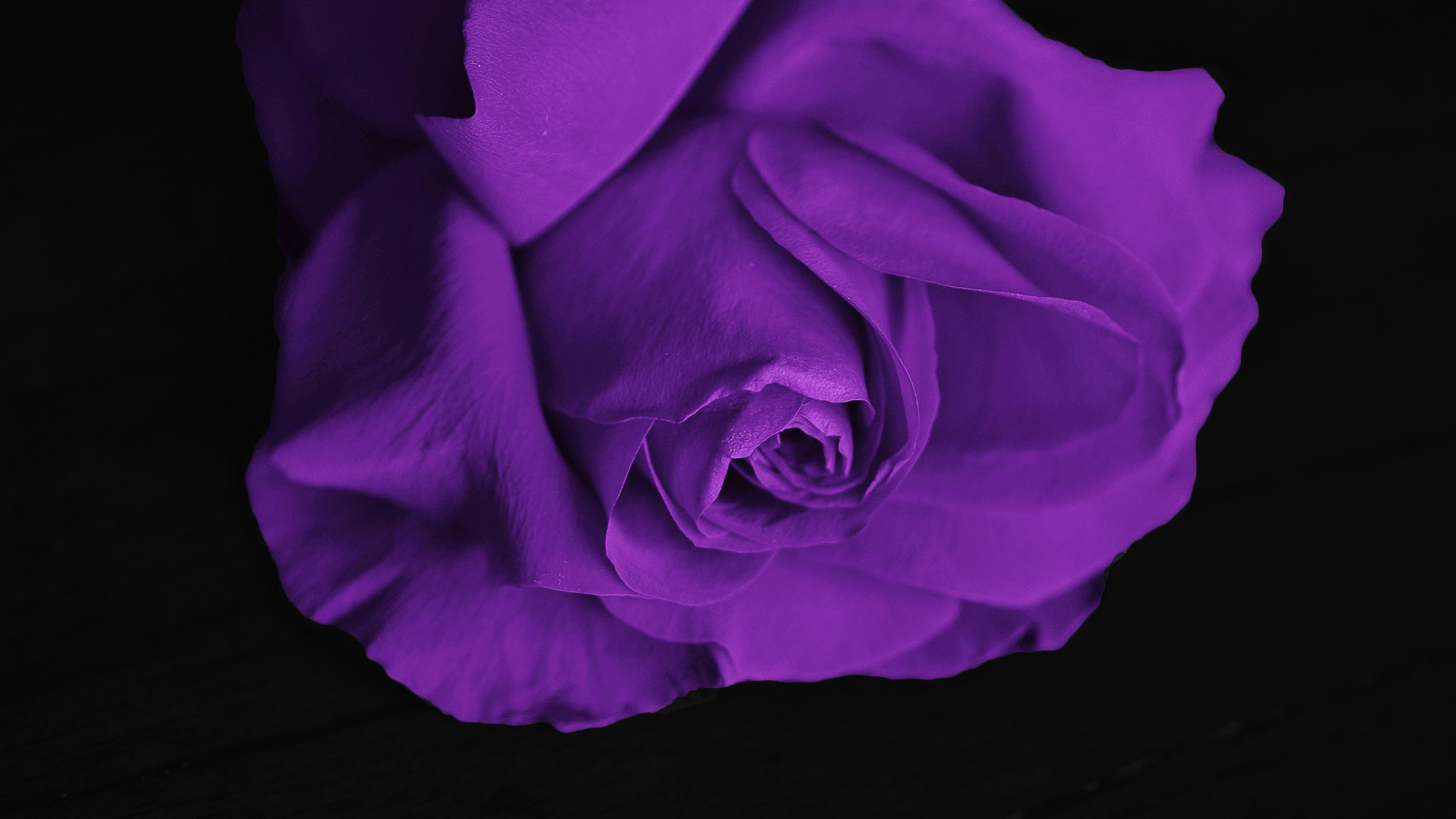 Красивая фиолетовая роза