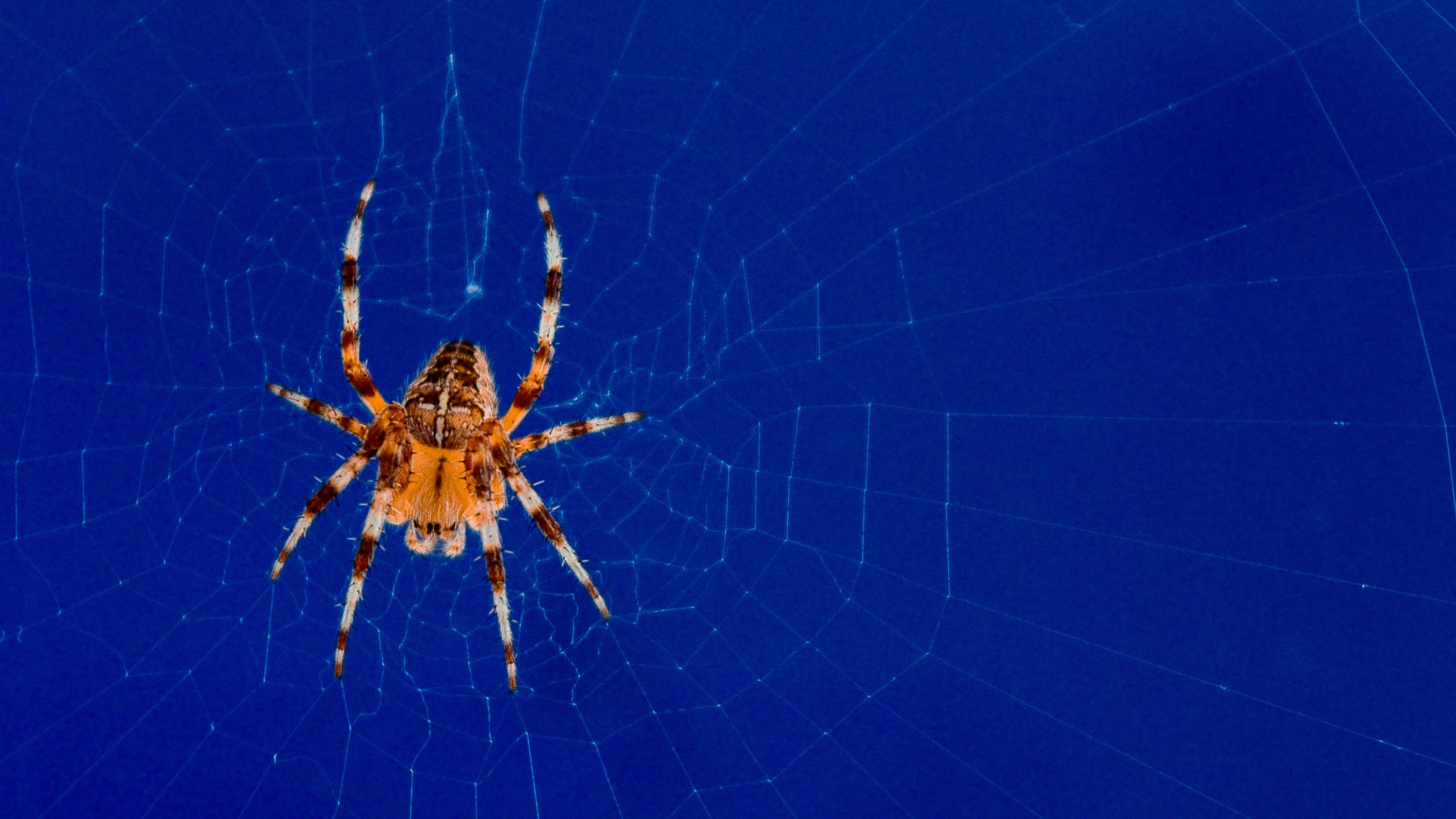 Рыжий паук с крестом