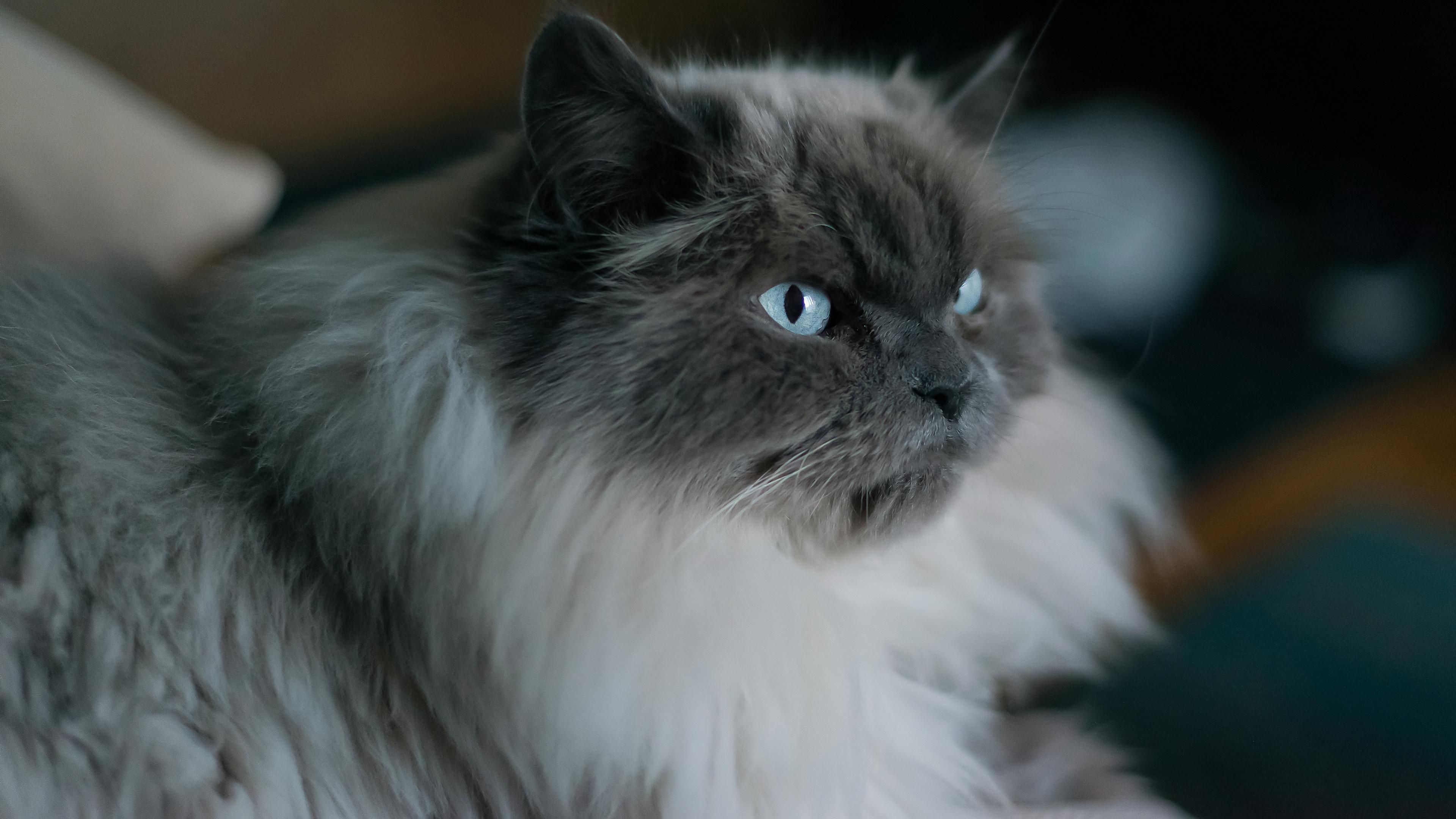 Пушистый кот с голубыми глазами