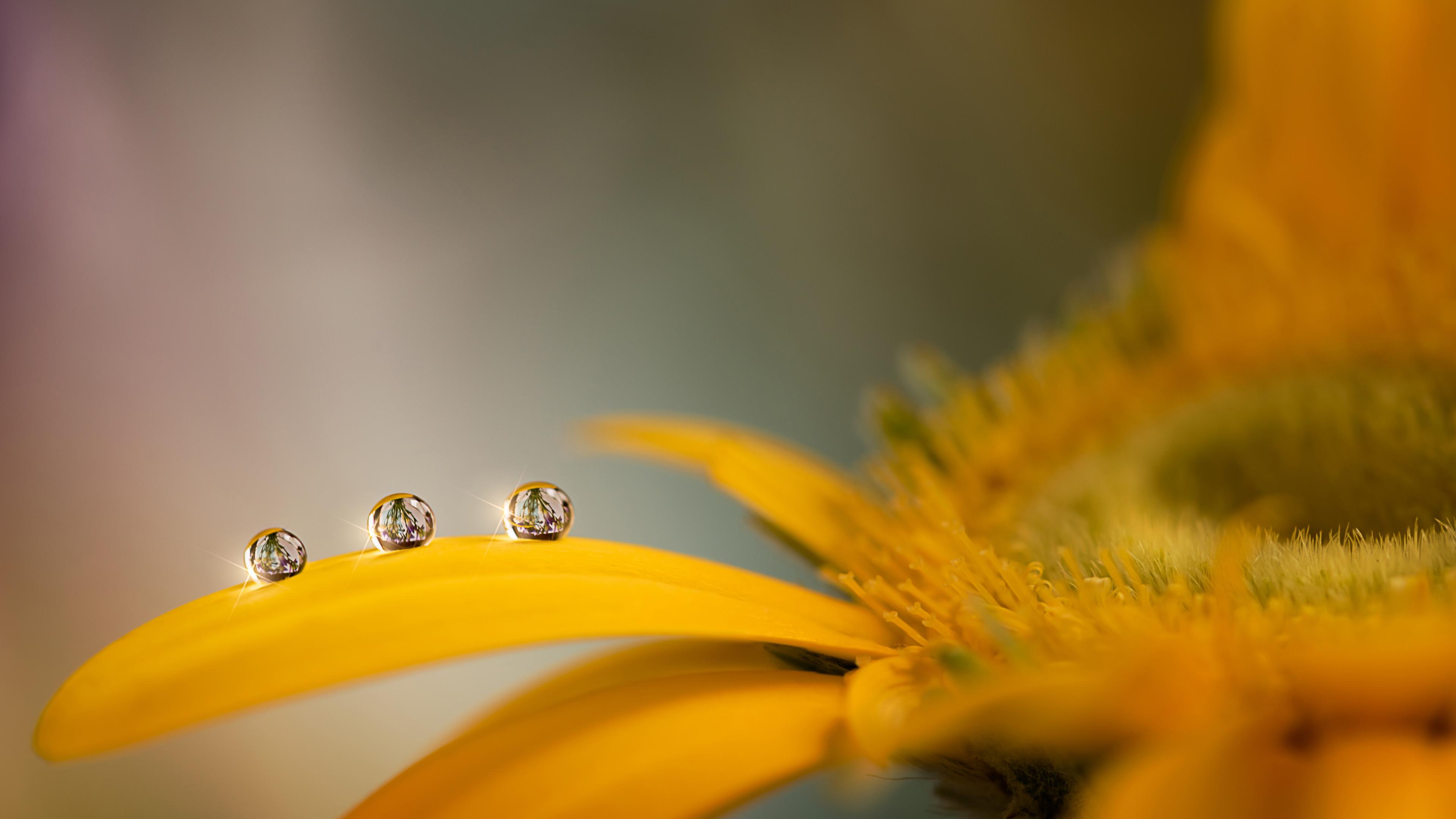 Лепестки желтой ромашки с блестящими капельками воды