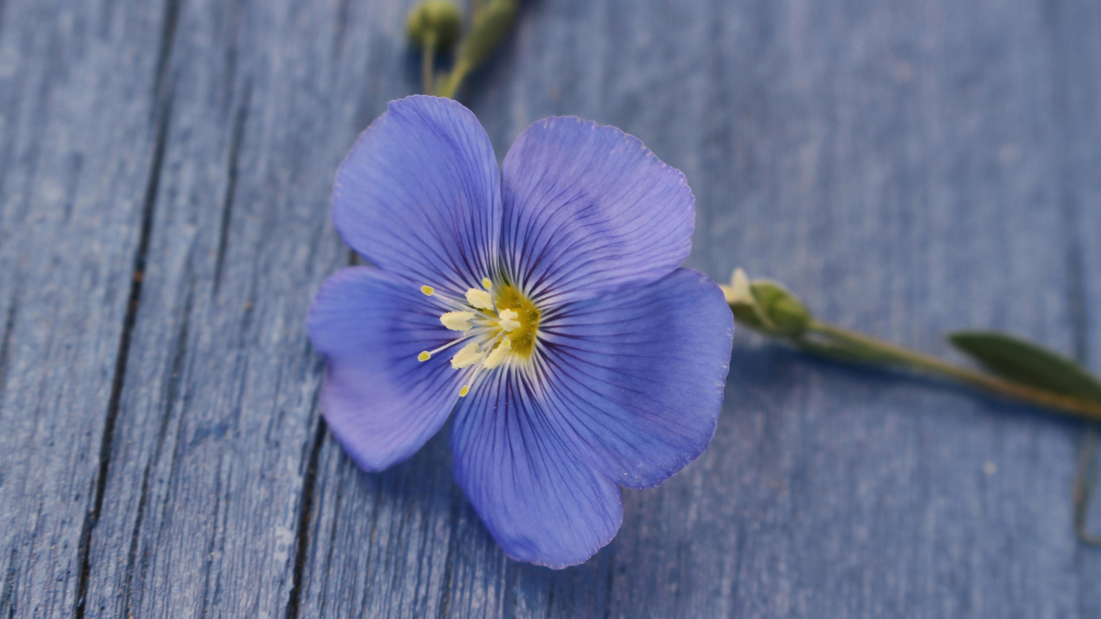 Увядающий светло-фиолетовый цветок