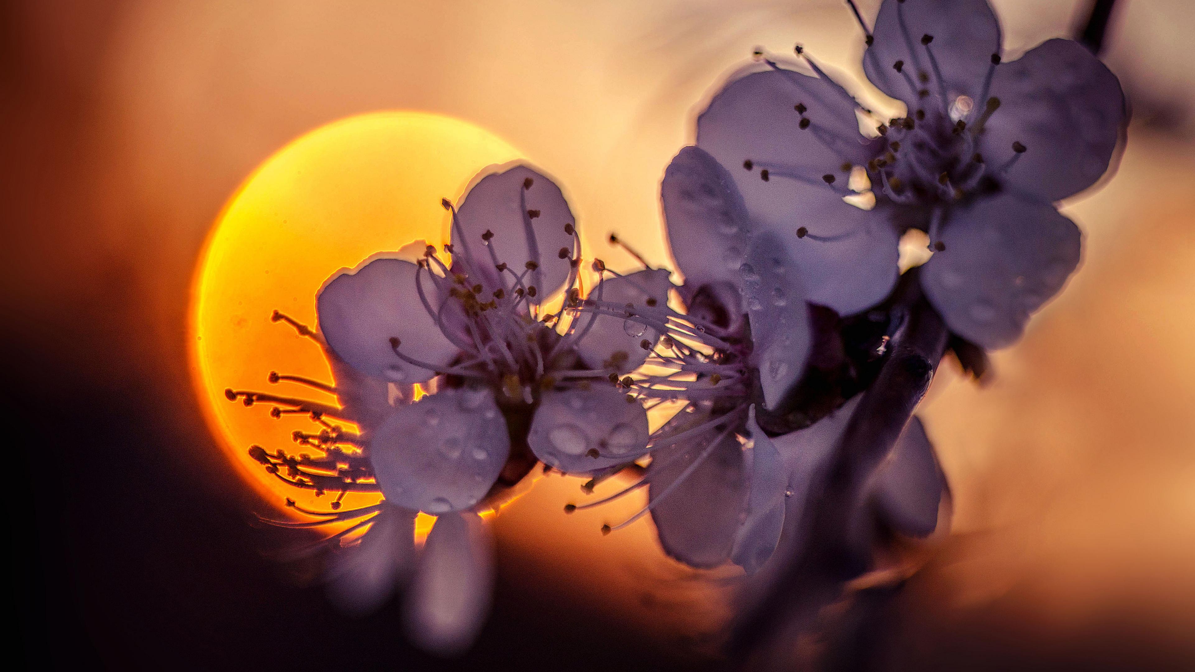 Ветка цветущей яблони на фоне шар-солнце