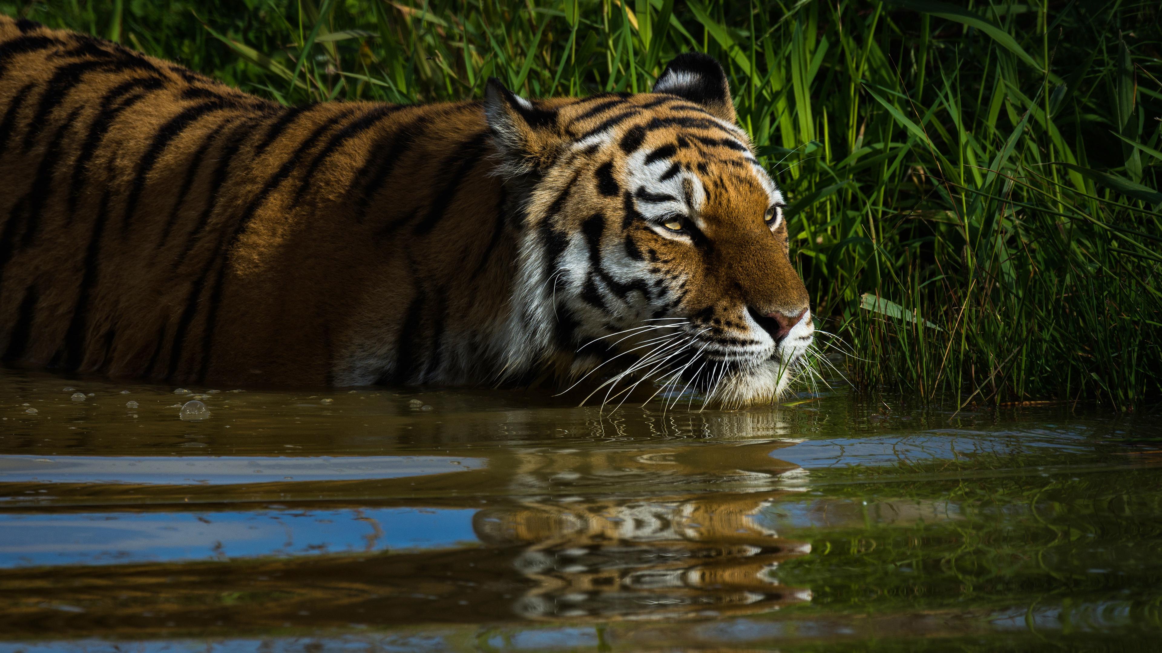 Тигр в траве у водоема