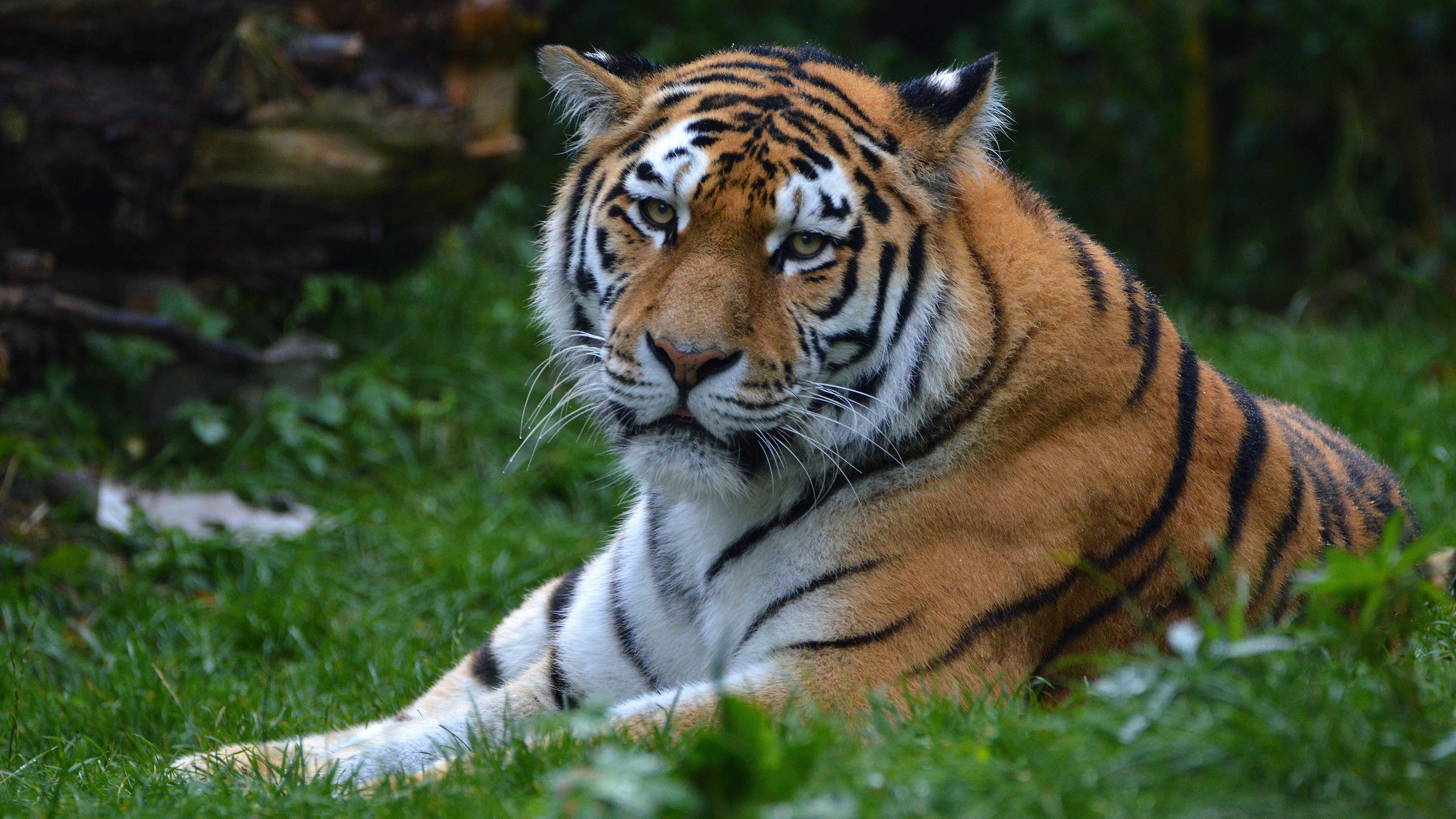 Тигр-большая кошка