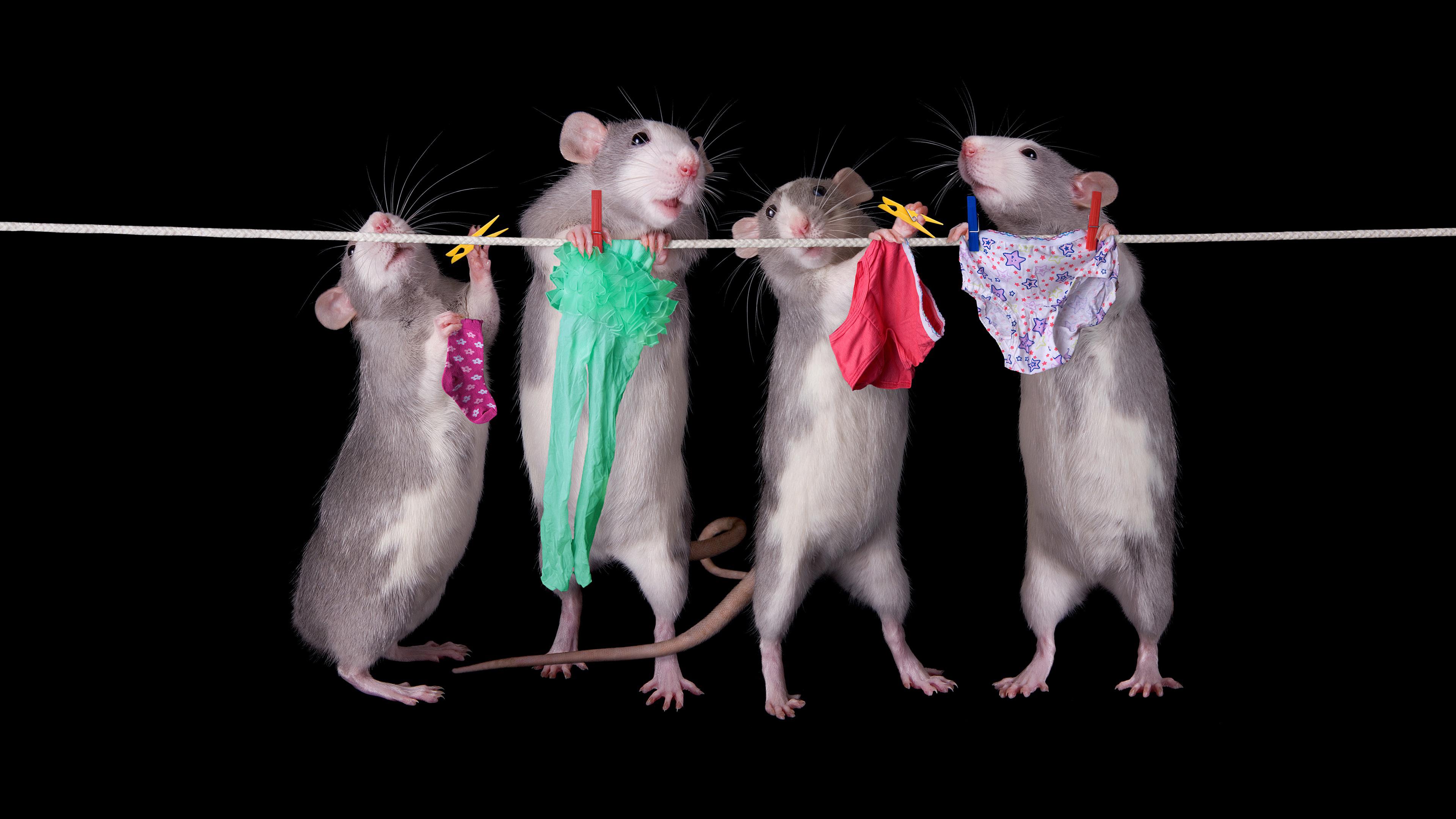 Декоративные ручные серые крысы