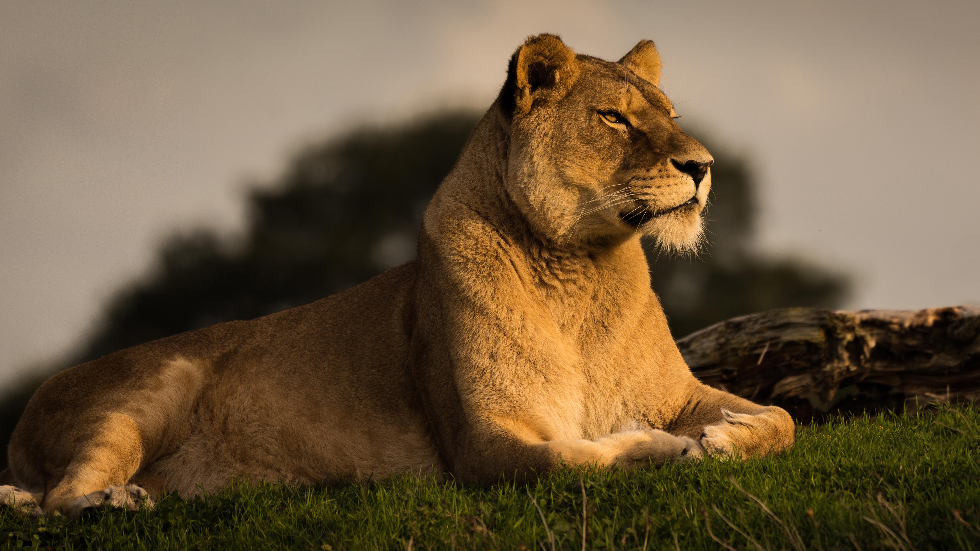 Дикая львица царица
