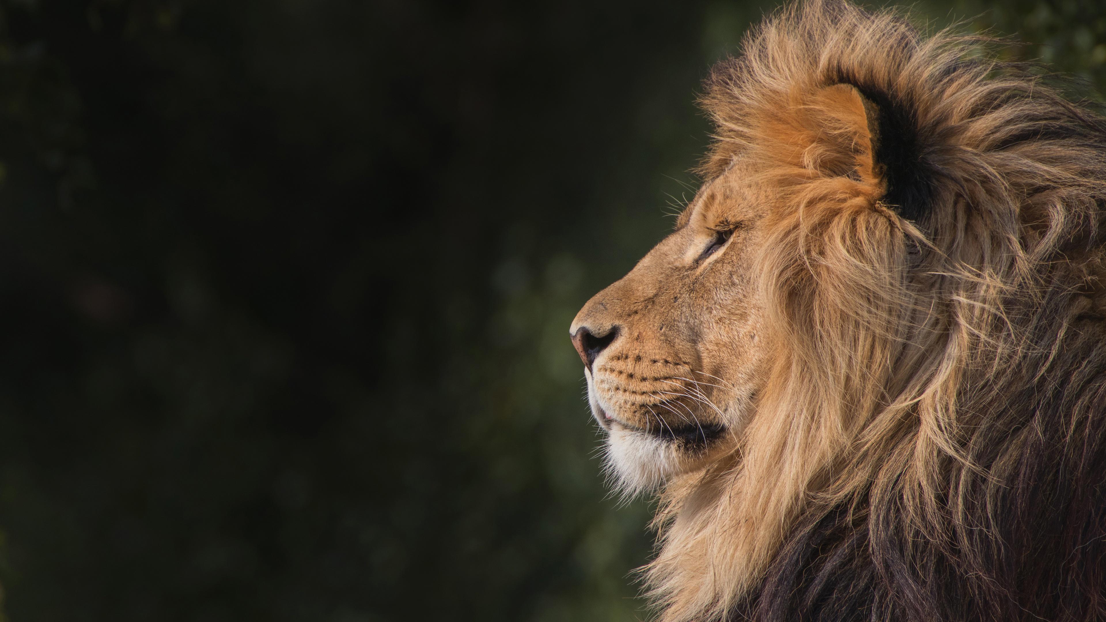 Лев-царь зверей с роскошной гривой