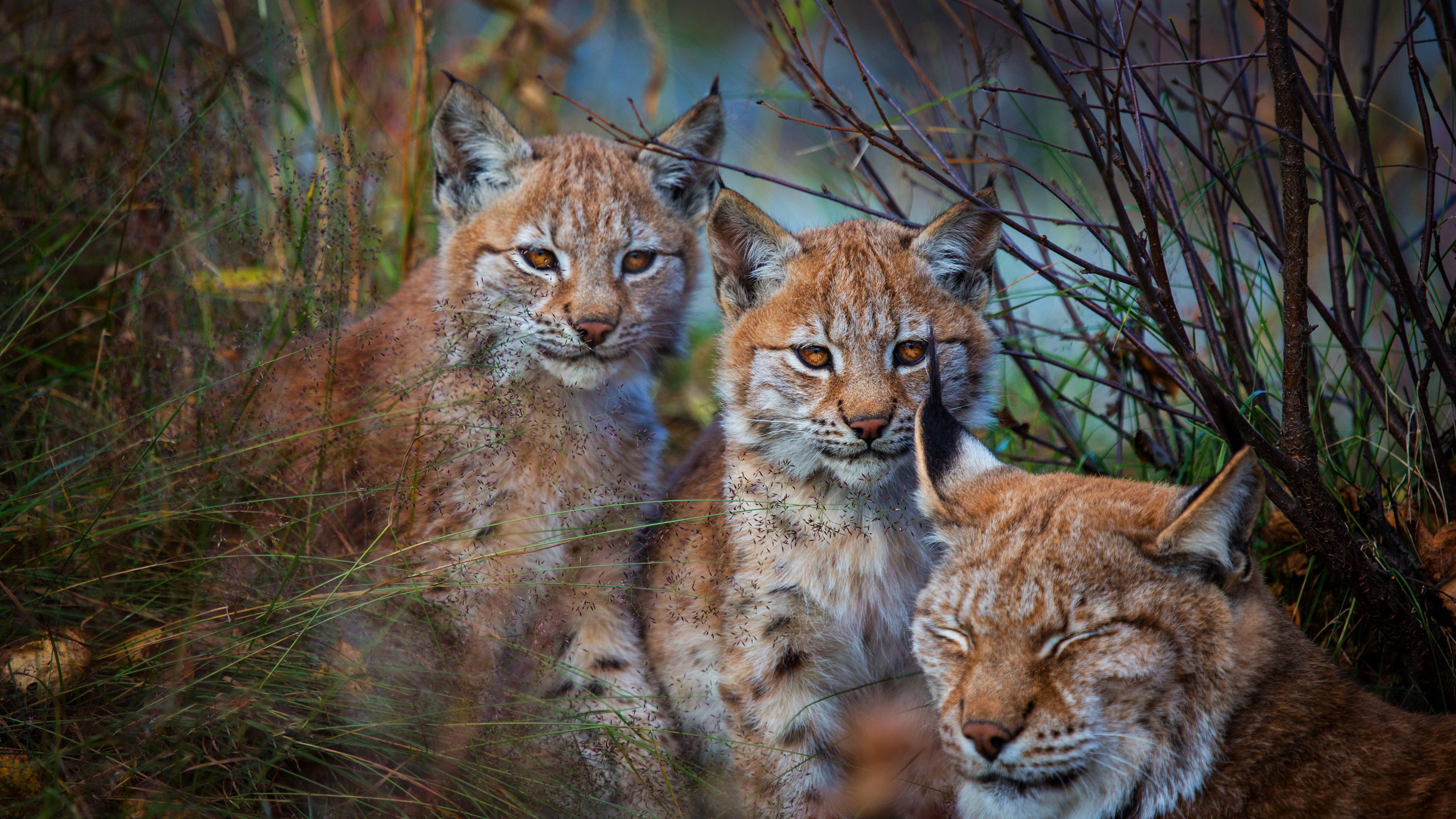 Рысь и ее детеныши рысята-котята
