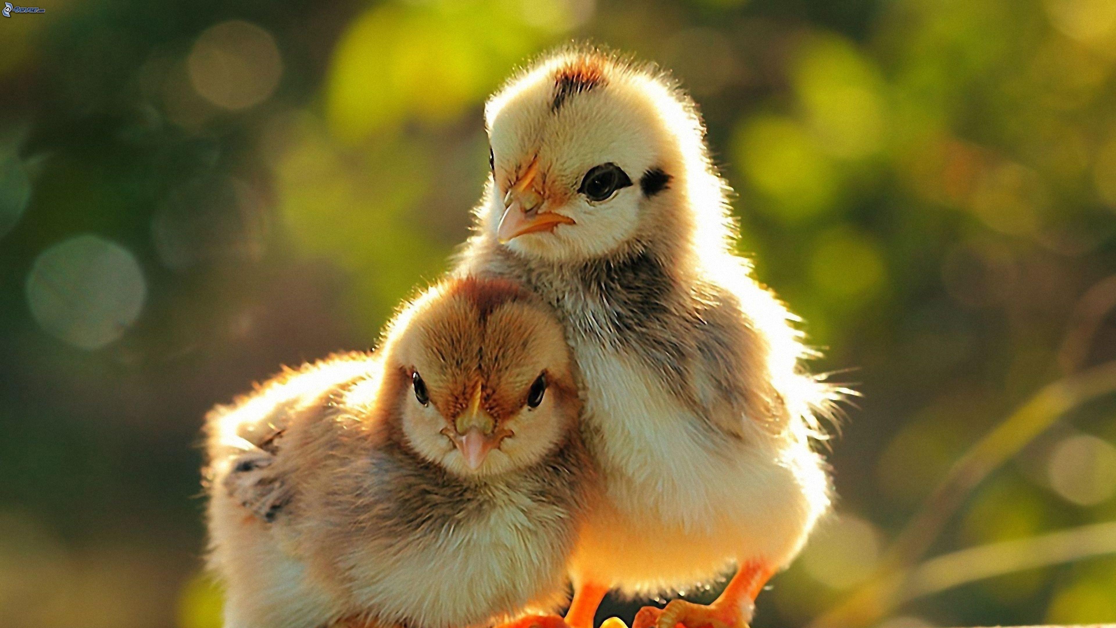 Милые ,пушистые ,очаровательные птенчики в лучах солнца