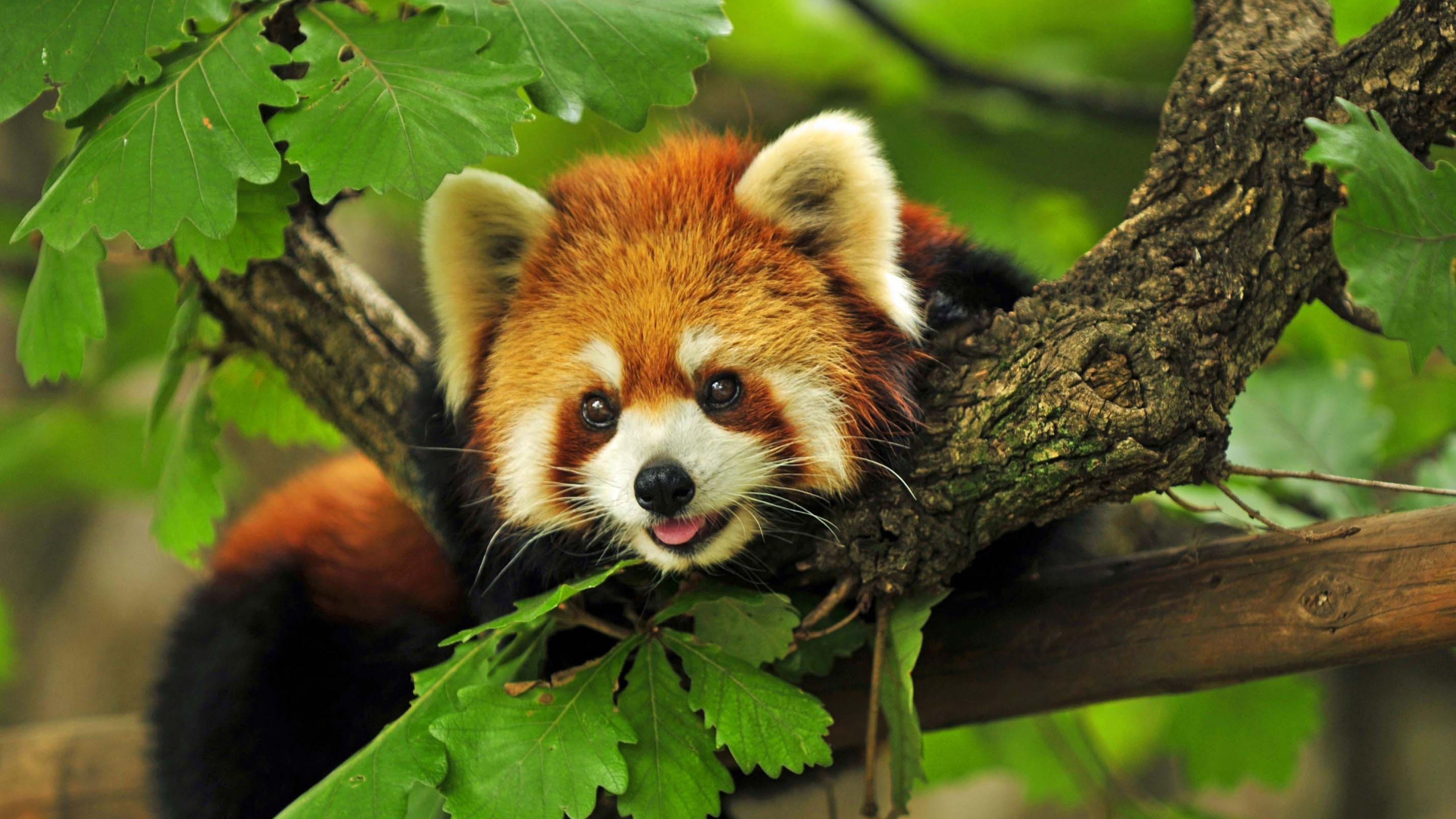 Красная панда с рыжевато-коричневым мехом и блестящими глазами-бусинками на дереве