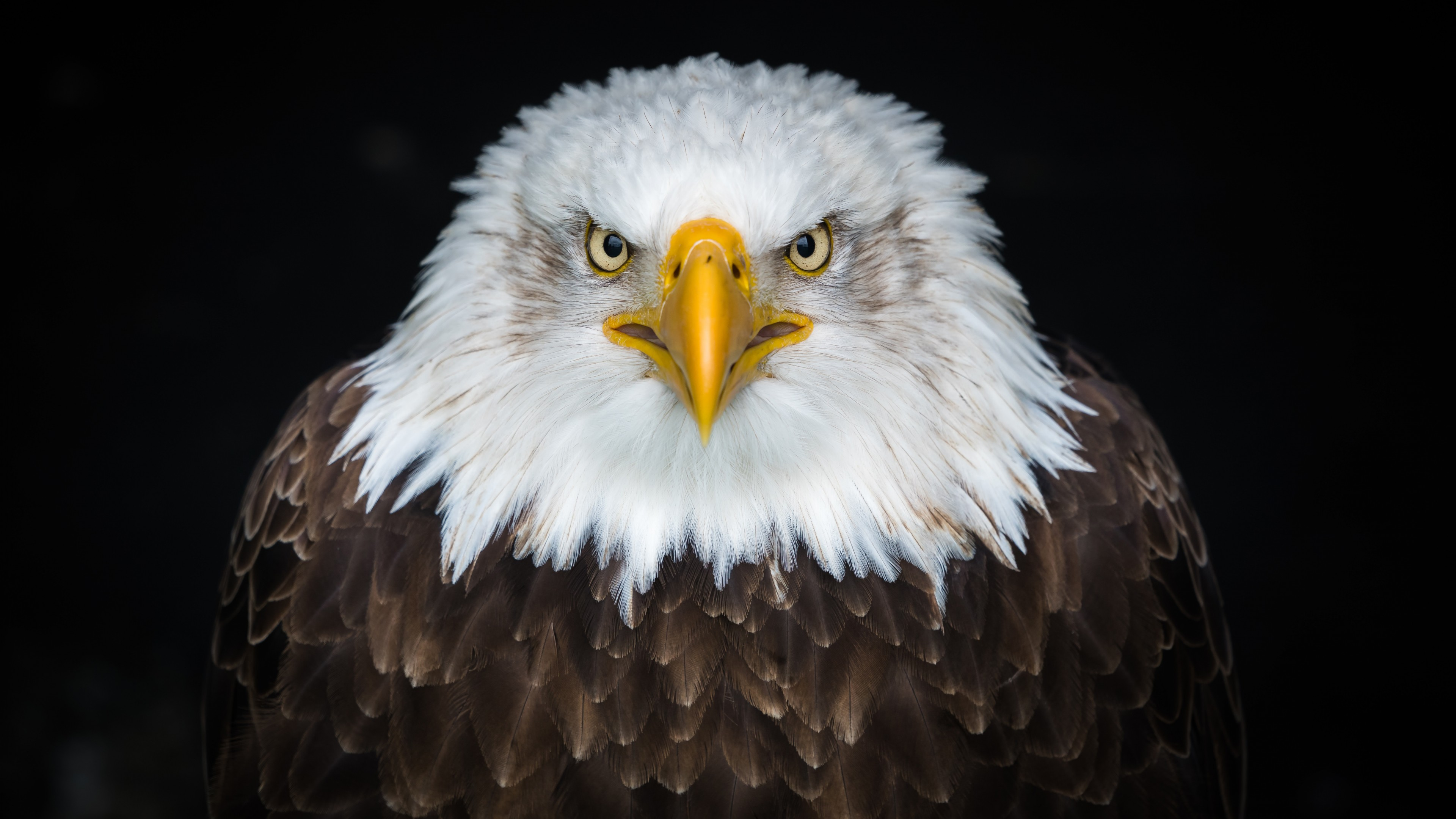 Хищная птица Орел с желтым клювом и зорким взглядом