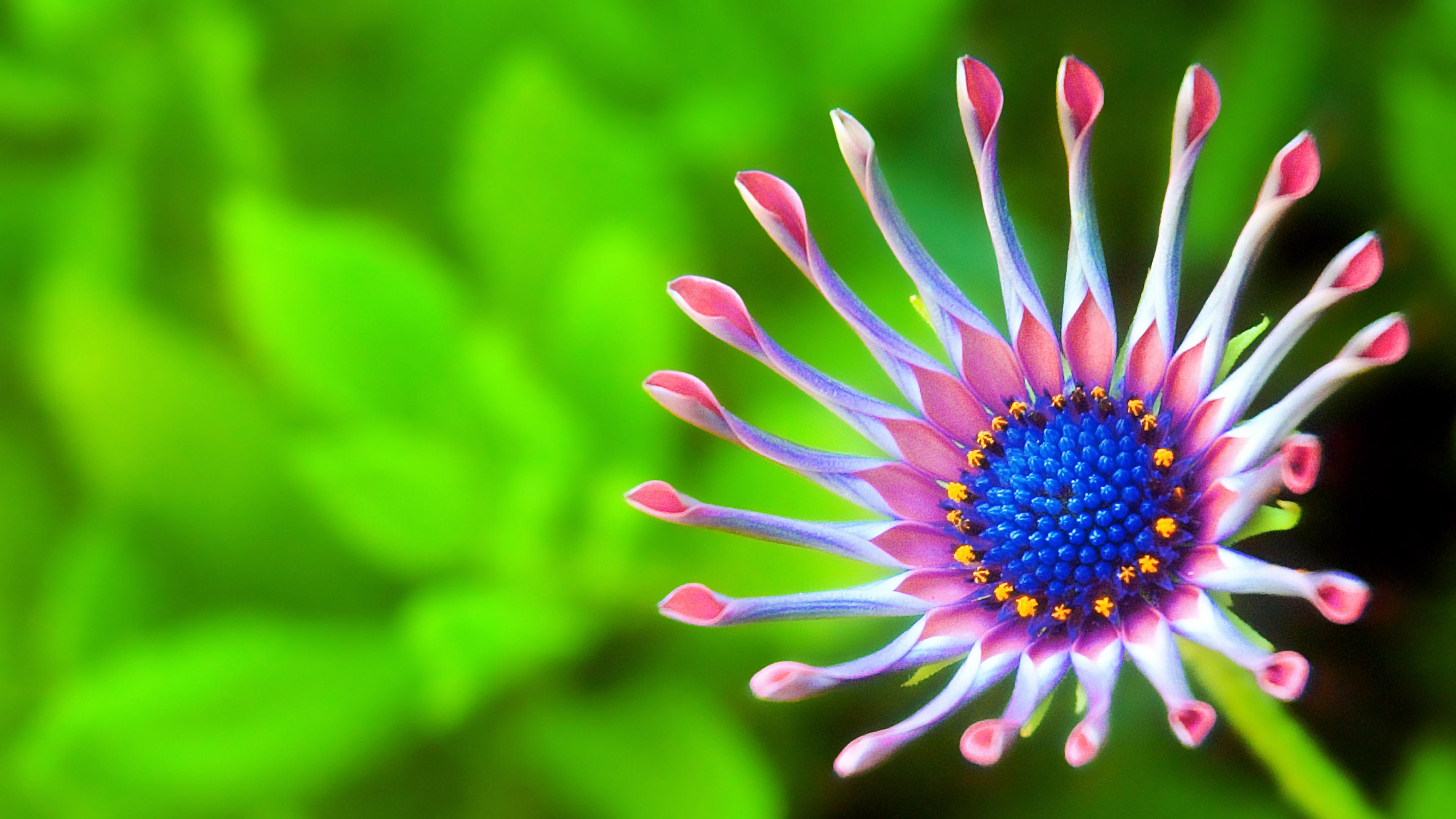Экзотическая ромашка с нежно- розовыми лепестками на фоне яркой зелени