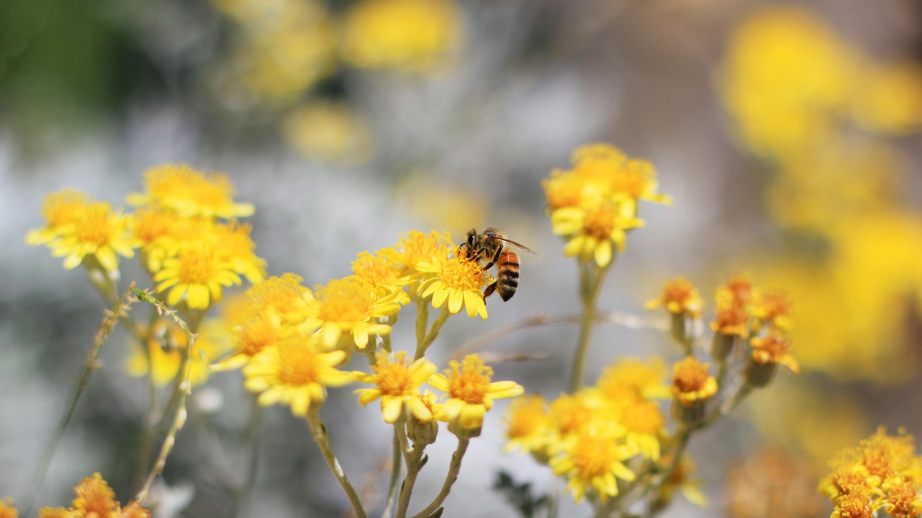 Утренняя медоносная пчела на ярко-желтых цветках в солнечных лучах