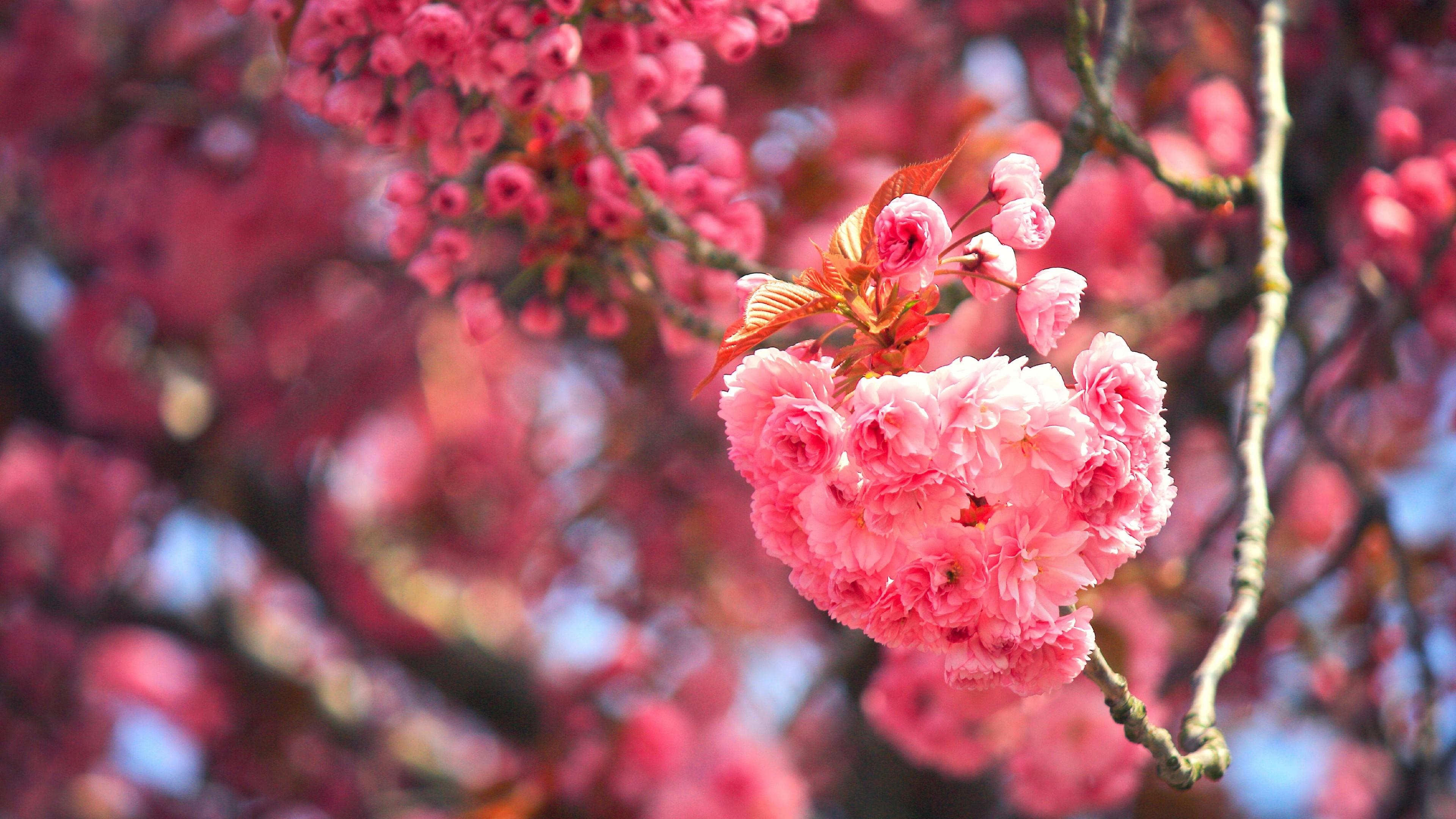 Цветущая ветка сакуры с  розовыми махровыми цветками в солнечных лучах