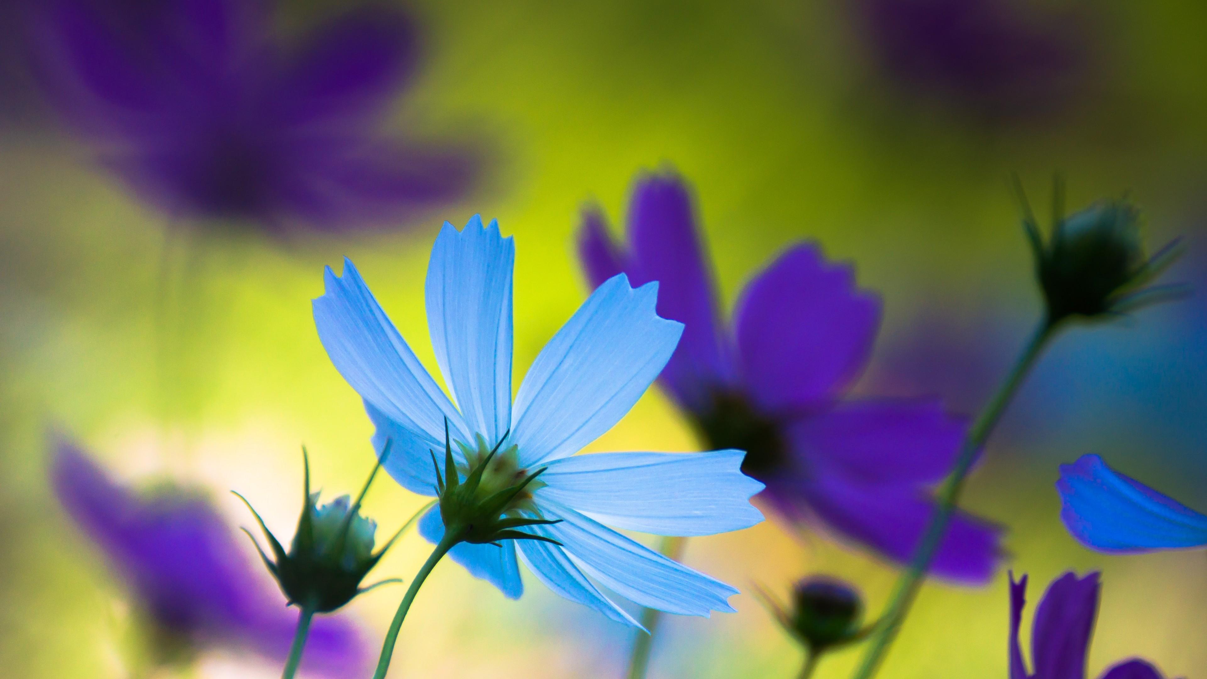 Нежные ,гофрированные лепестки ромашек голубого,фиолетового цвета в рассветных лучах солнца
